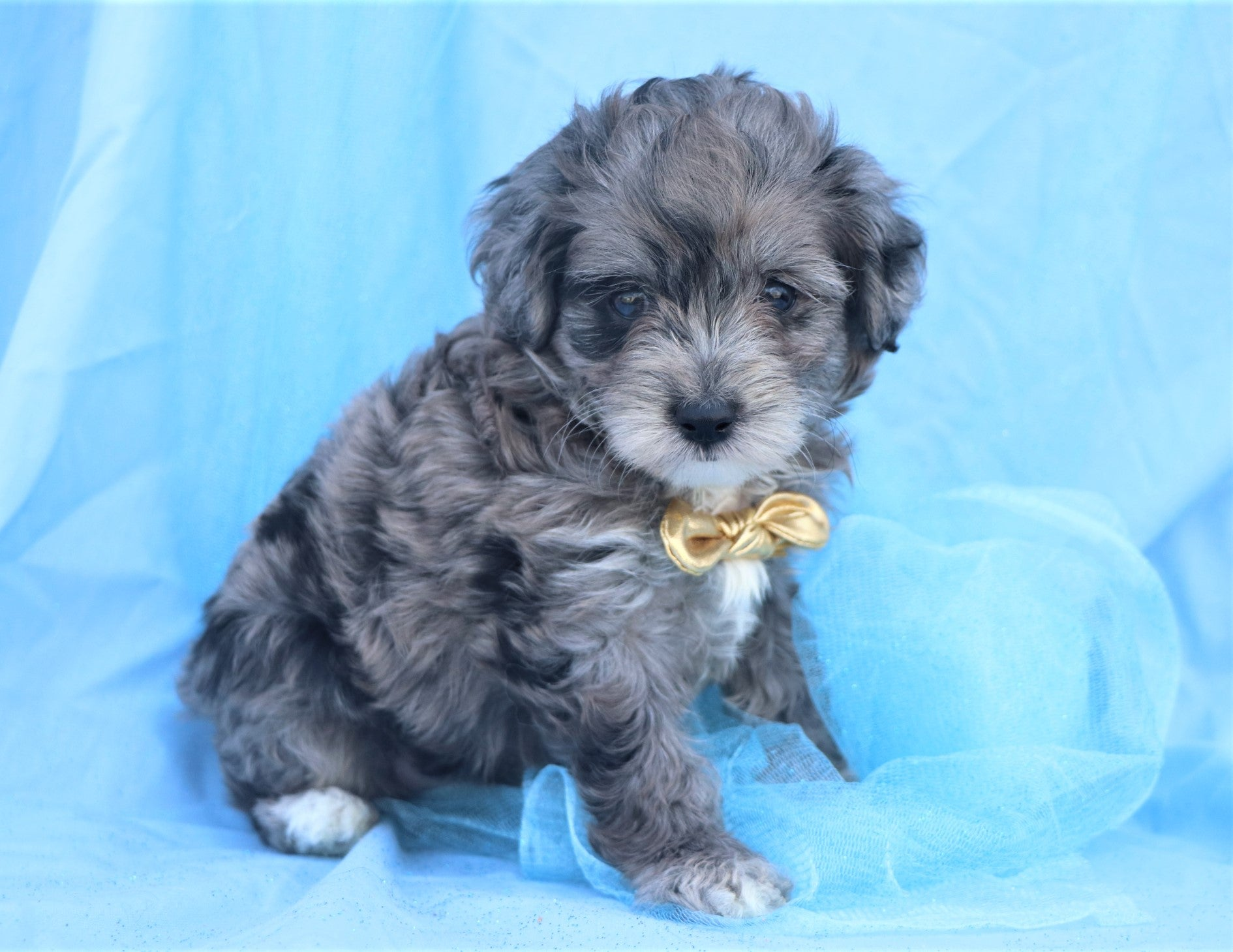 *RESERVED*Java Male Mini Aussiedoodlechon Puppy*
