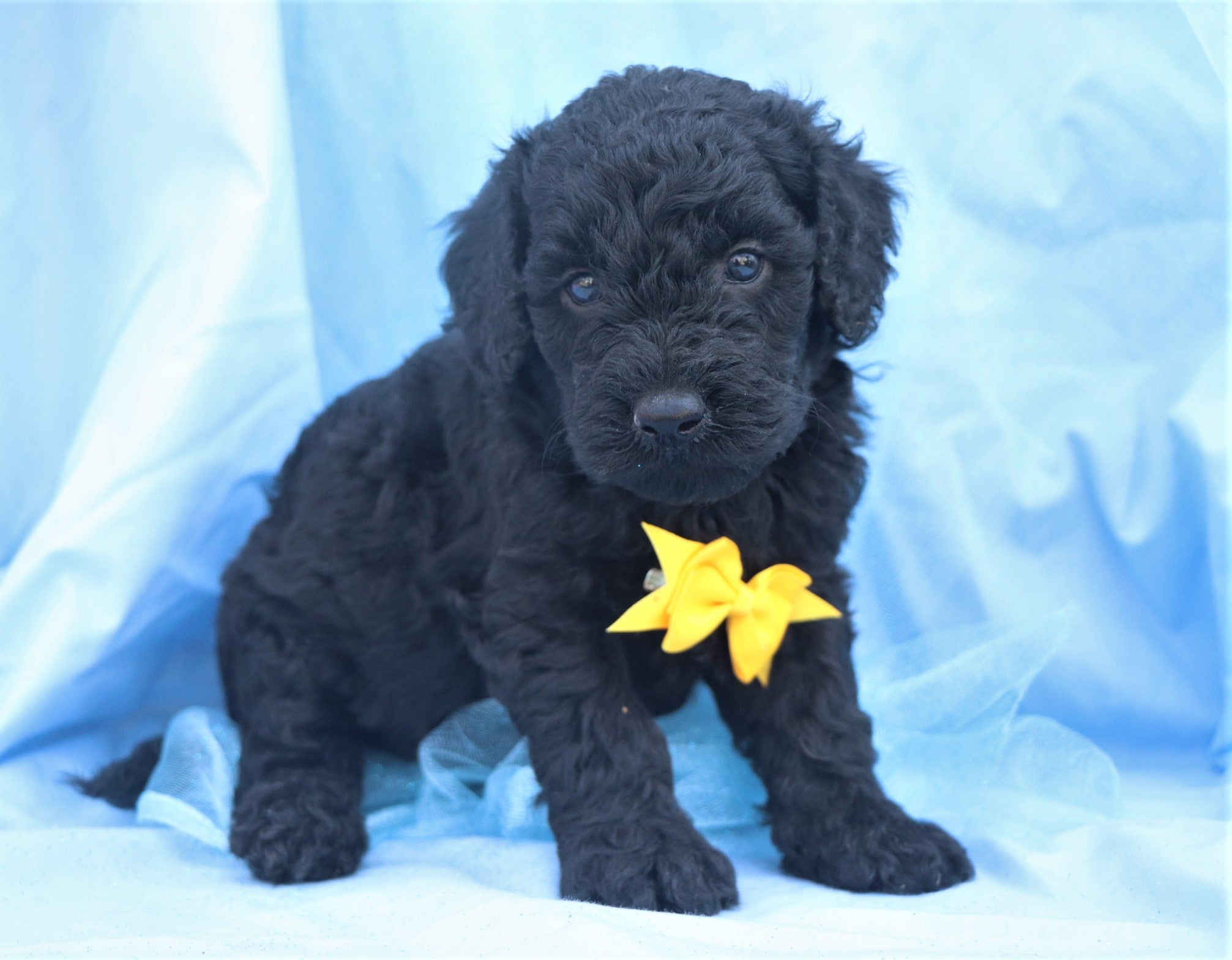 *RESERVED* Cashew Male F1B Mini Goldendoodle Puppy*