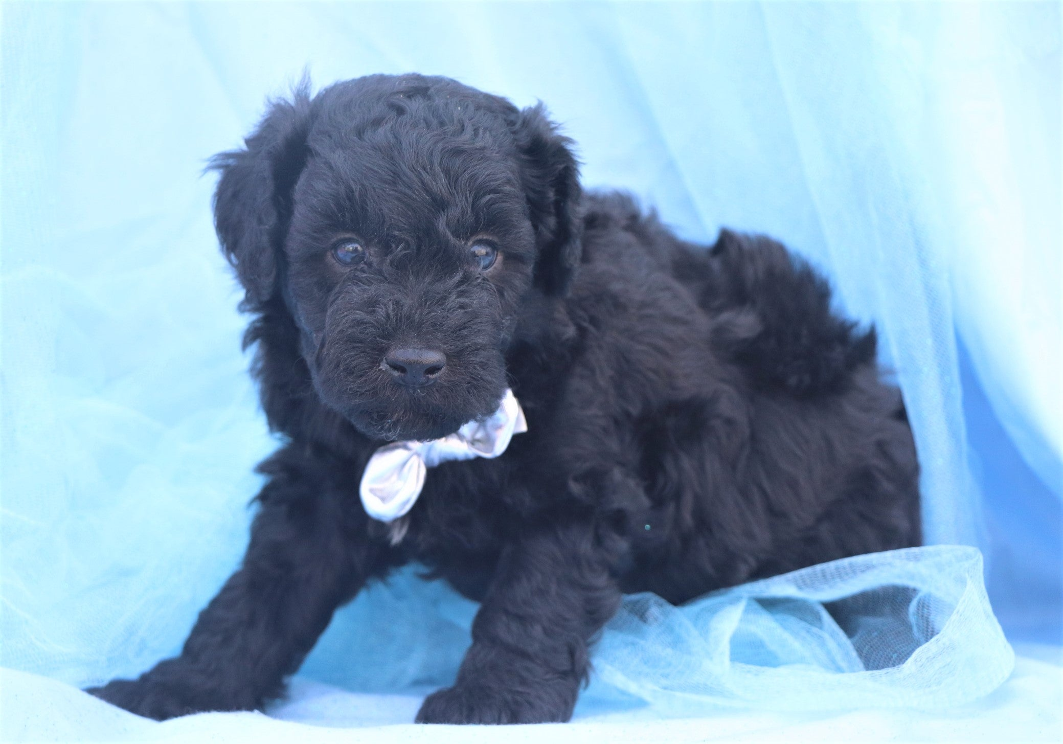 *RESERVED* Cobbler Male F1B Mini Goldendoodle Puppy
