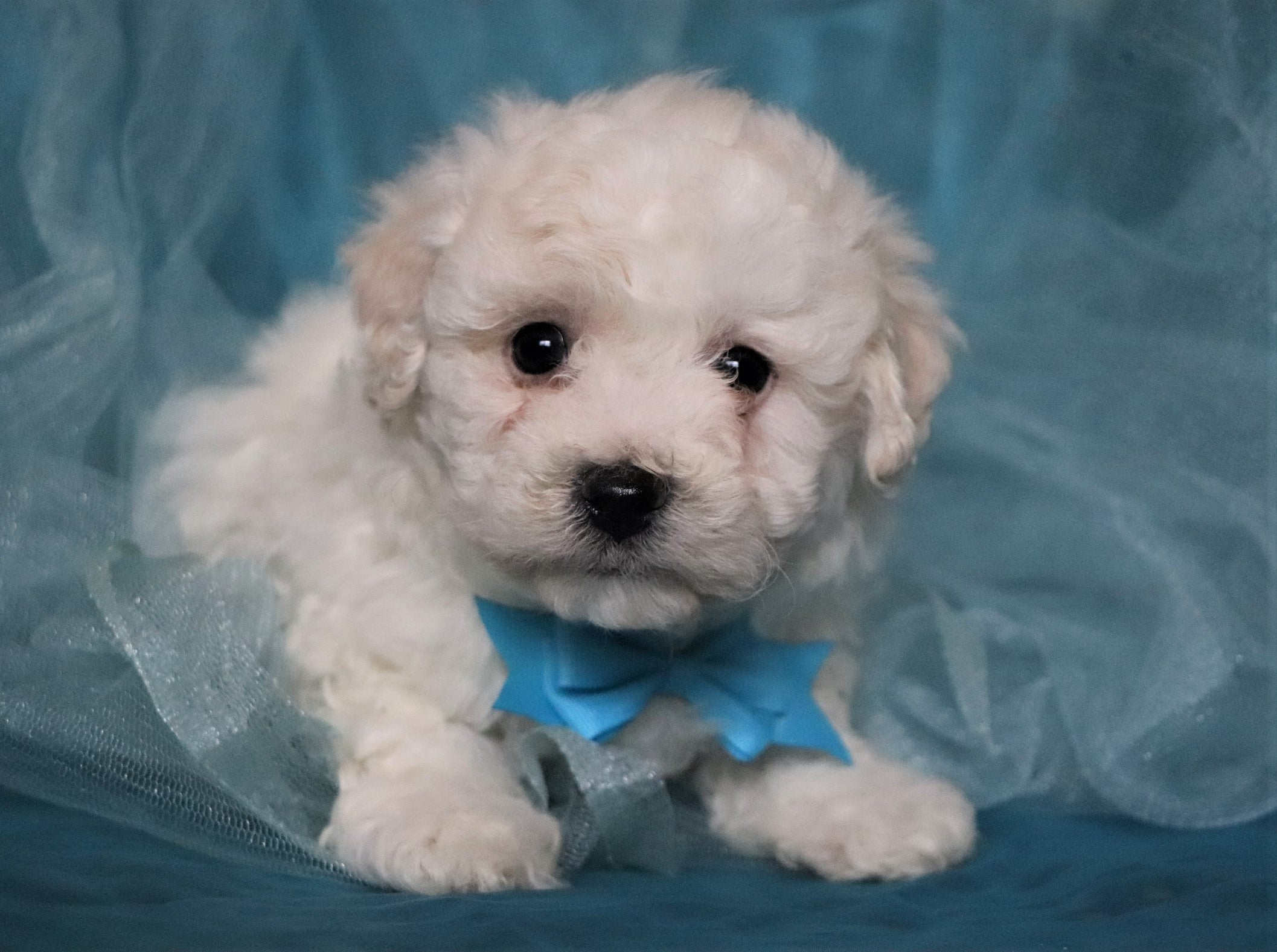 *RESERVED* Spike Male Bichon Frise Puppy
