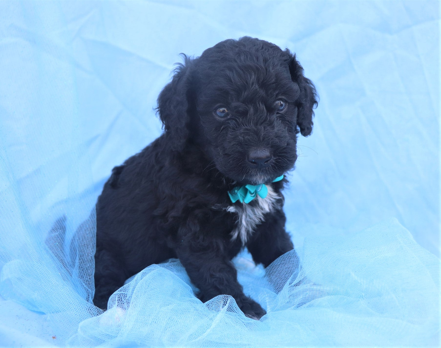 *RESERVED*Huckleberry Male F1B Mini Bernedoodle Puppy