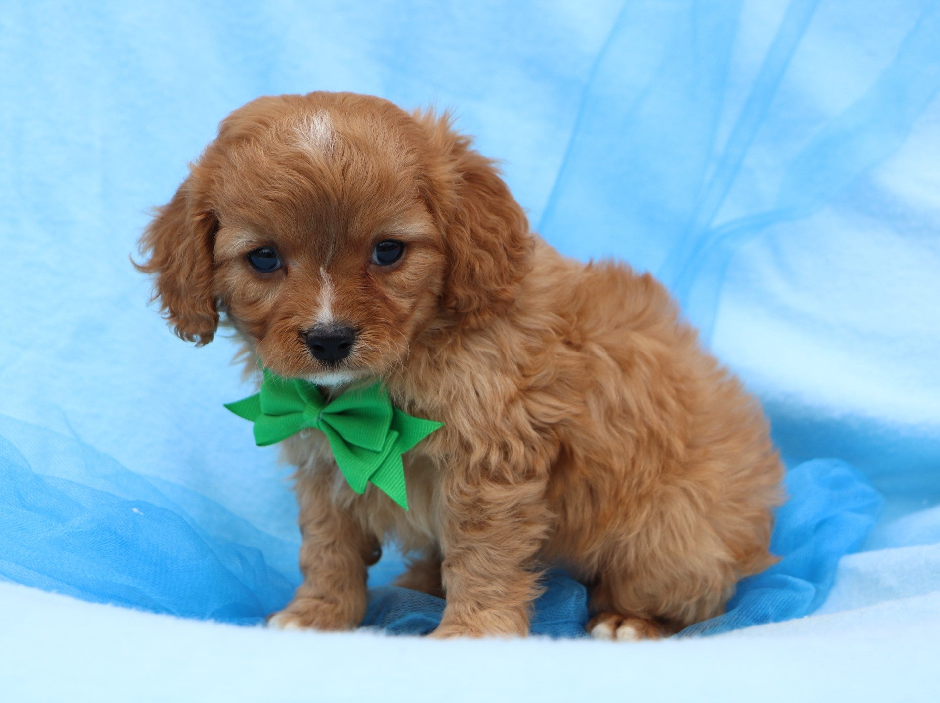 *RESERVED* Cranberry Male F1B Cavapoo Puppy