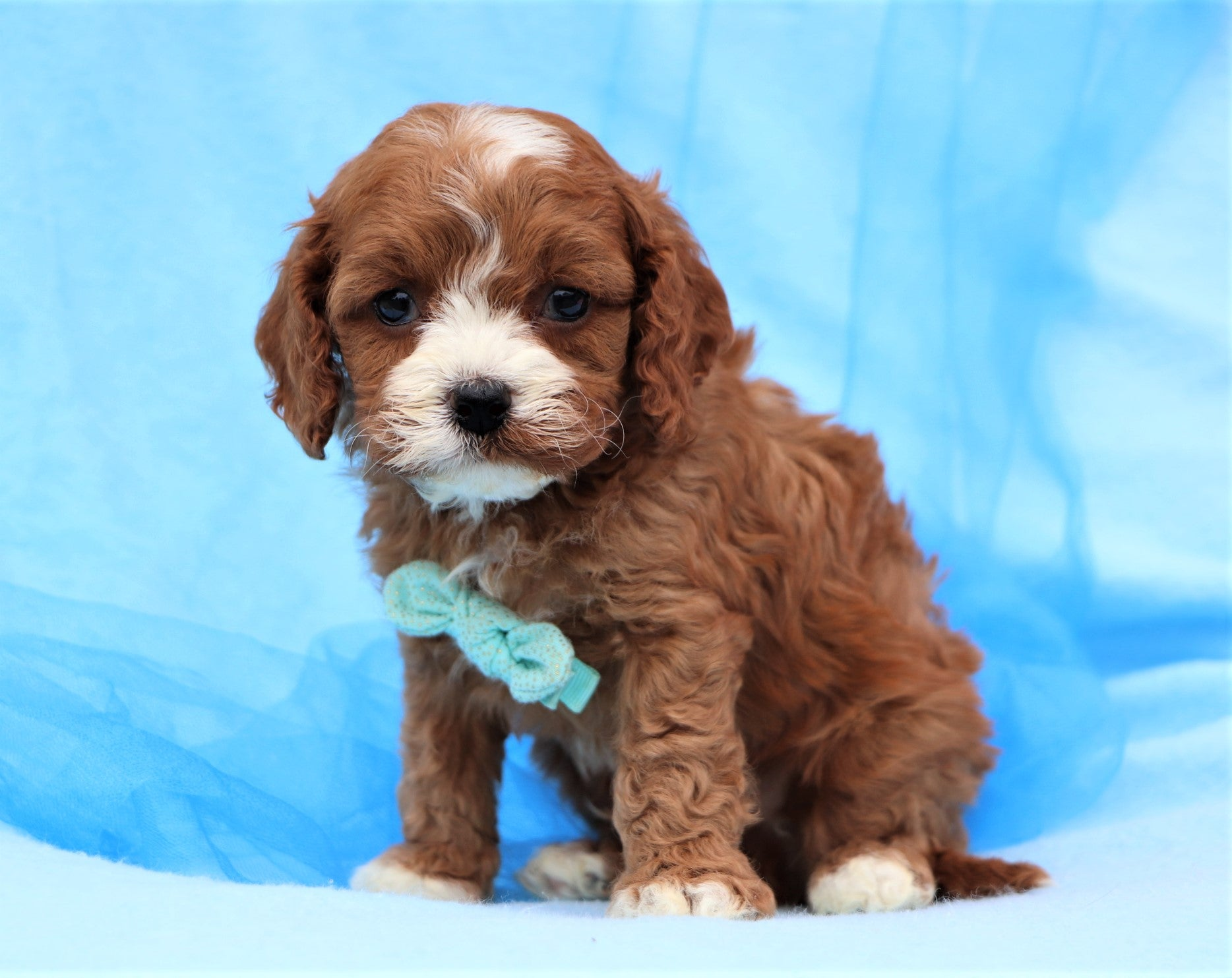 *RESERVED*Sweet Potato Male F1B Cavapoo Puppy