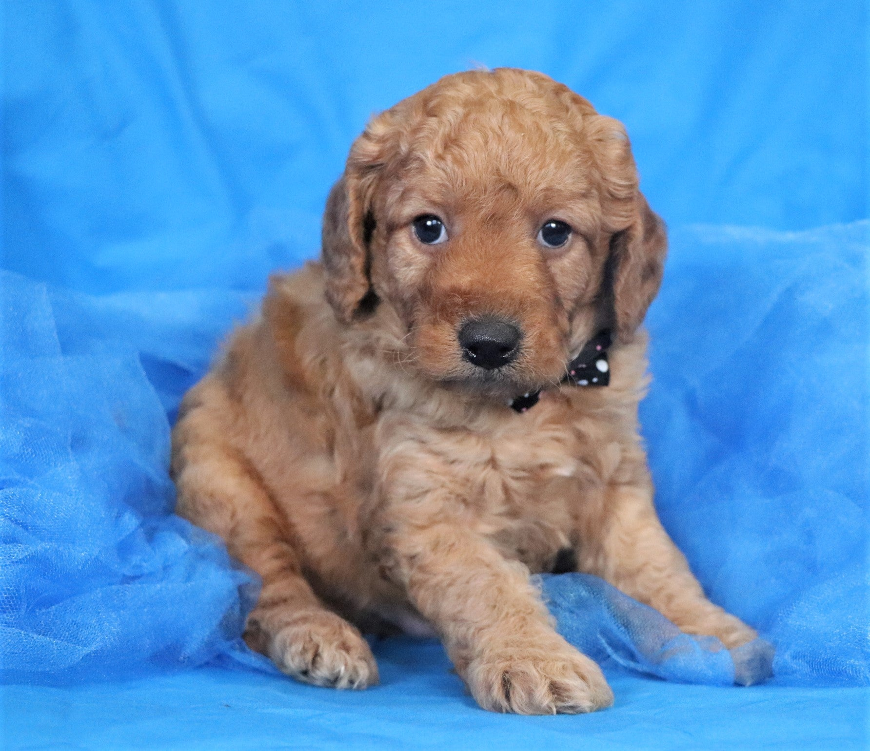*RESERVED*Jock Male F1B Mini Goldendoodle Puppy*