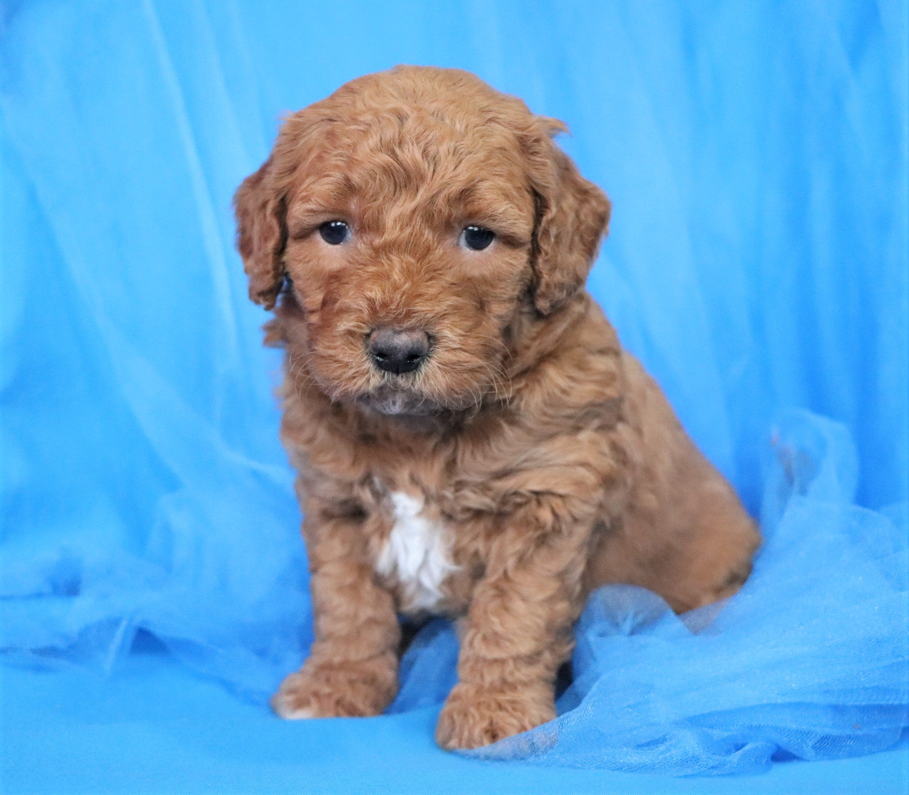 Reserved Terry Male F2 Mini Goldendoodle Puppy