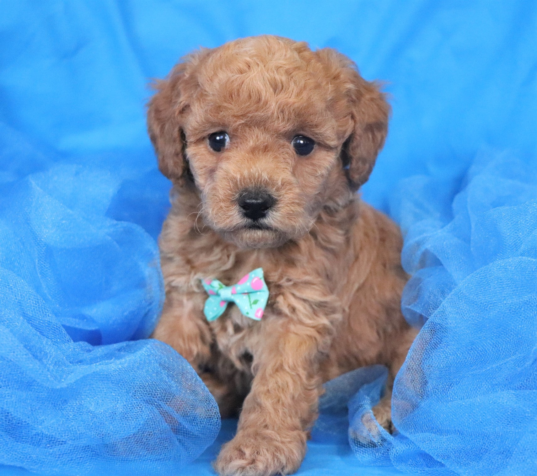 *RESERVED* Jericho Male F1B Mini Goldendoodle Puppy*