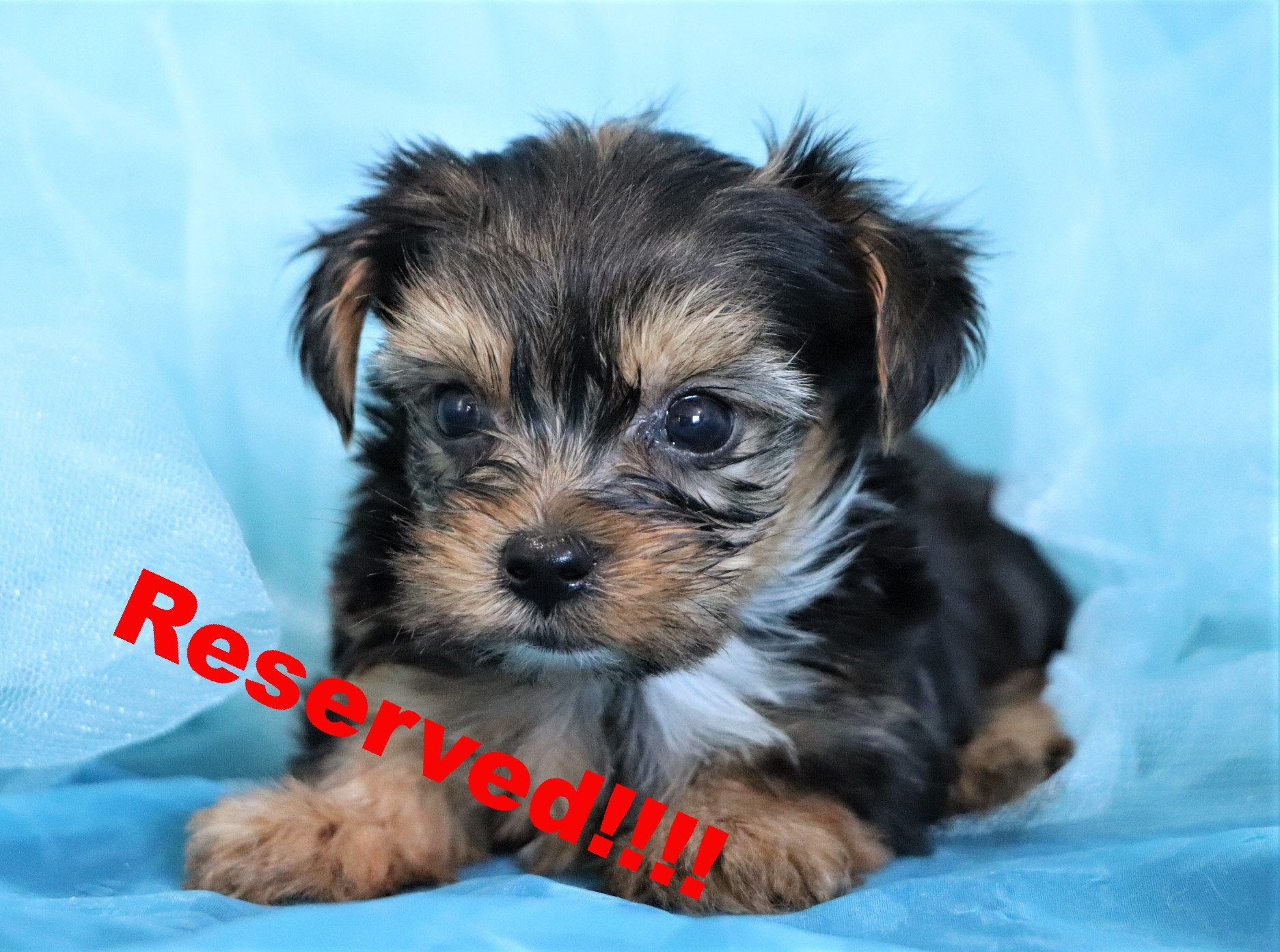 Tipton Male Micro Teacup Yorkie Puppy*