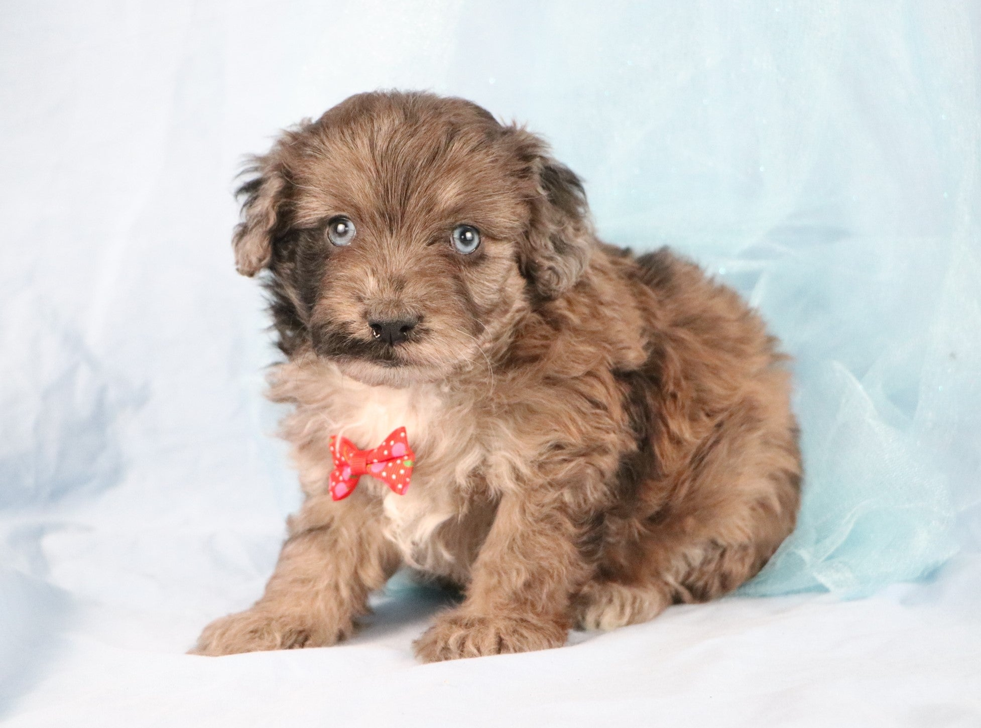 *RESERVED*Huckleberry Male Mini Aussiedoodle Puppy