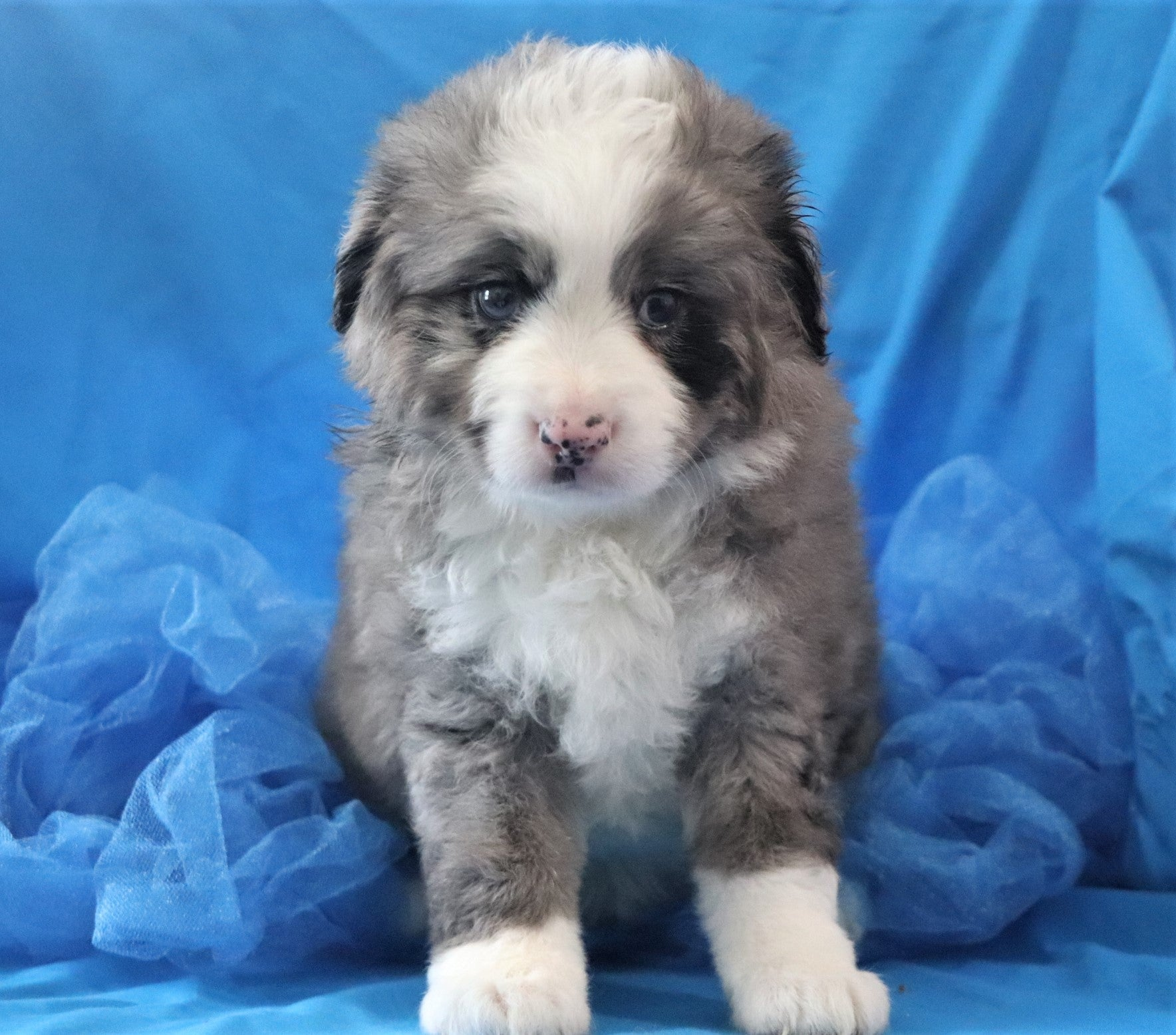 *RESERVED* Hopscotch Male Merle F2 Mini Bernedoodle Puppy