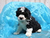 *RESERVED* Heath Male Mini Bernedoodle Puppy