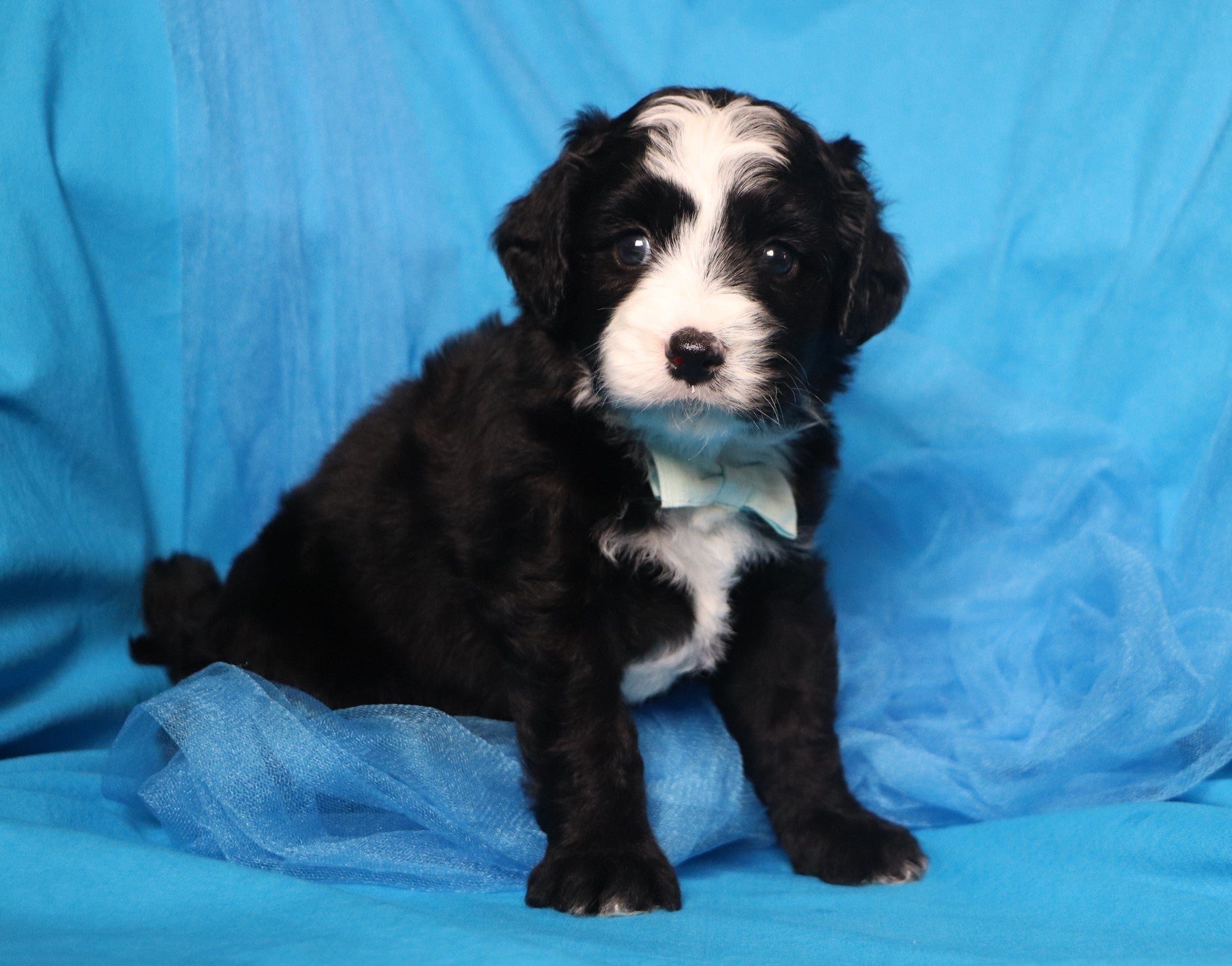 *RESERVED* Denver Male F2 Mini Bernedoodle Puppy