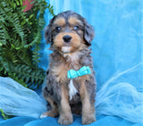 *RESERVED* Blaine Male Merle Mini Aussiedoodle Puppy