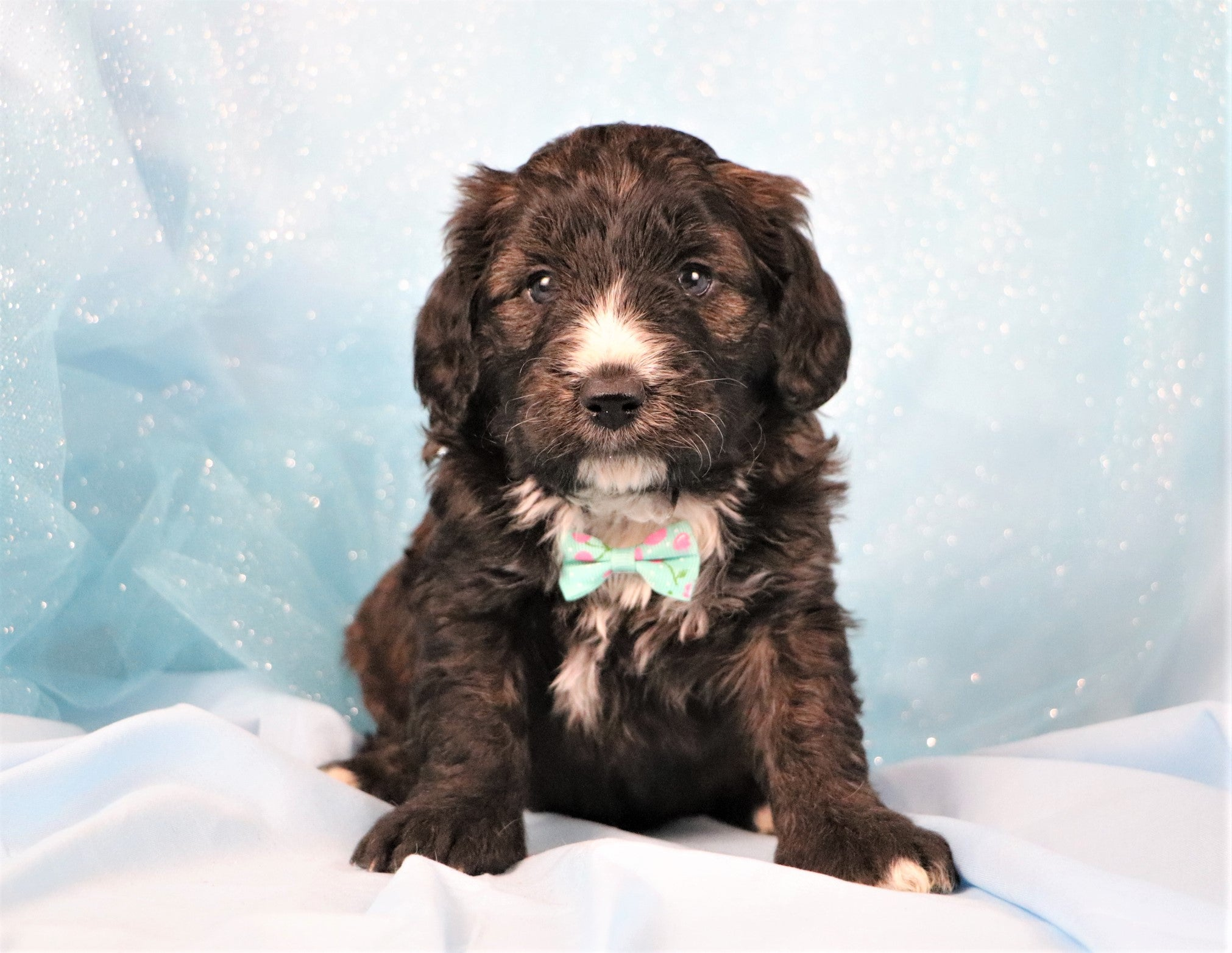 Phillip Male F1B Mini Bernedoodle Puppy*