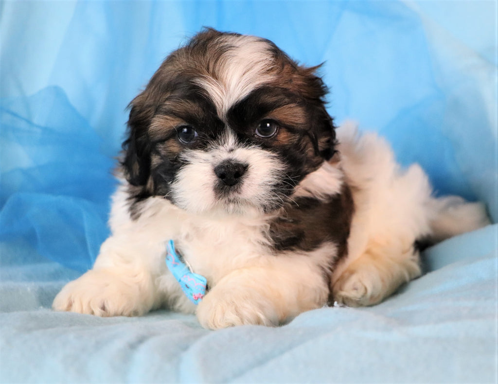 Lucky Male Imperial Shih Tzu Puppy*