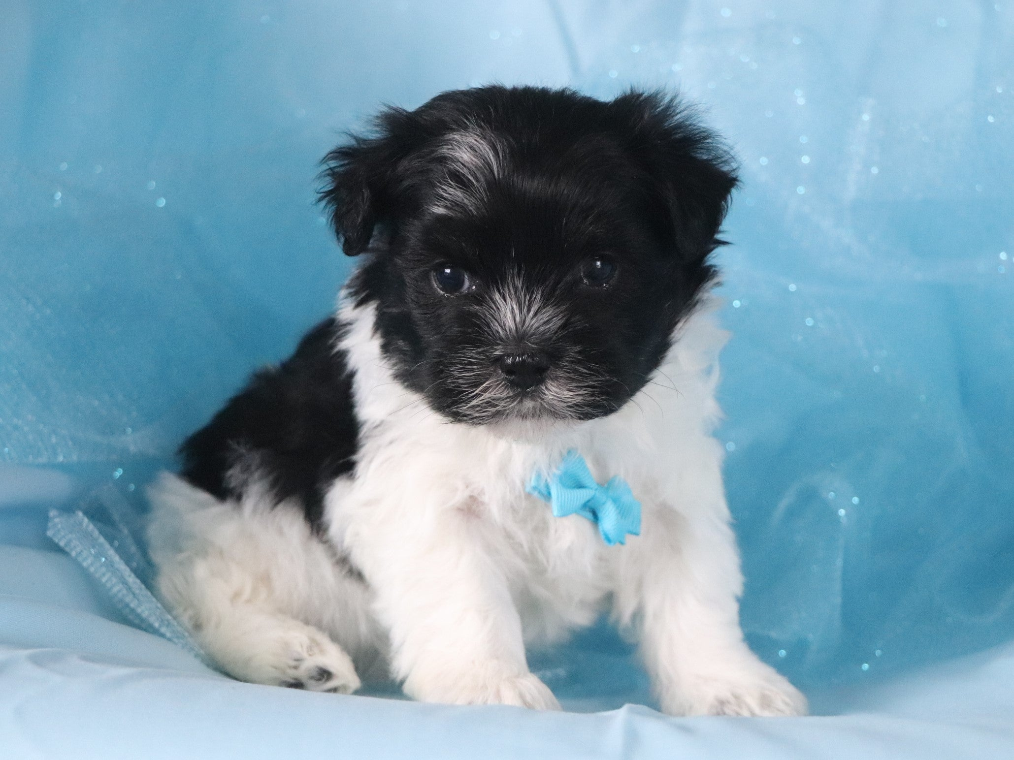 *RESERVED* Alvin Male Teacup Havanese Puppy