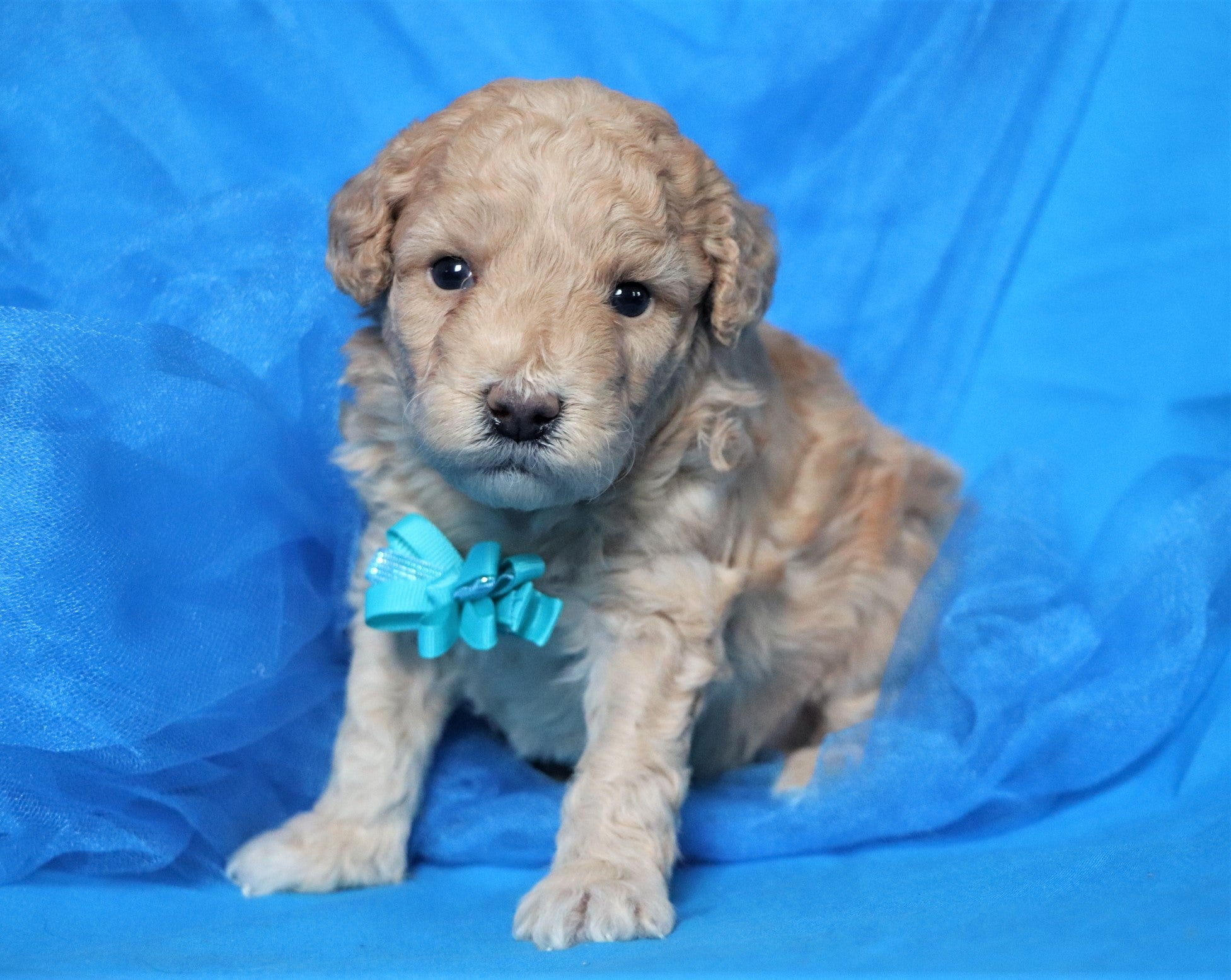 *RESERVED*Lonestar Male F1B Mini Goldendoodle Puppy