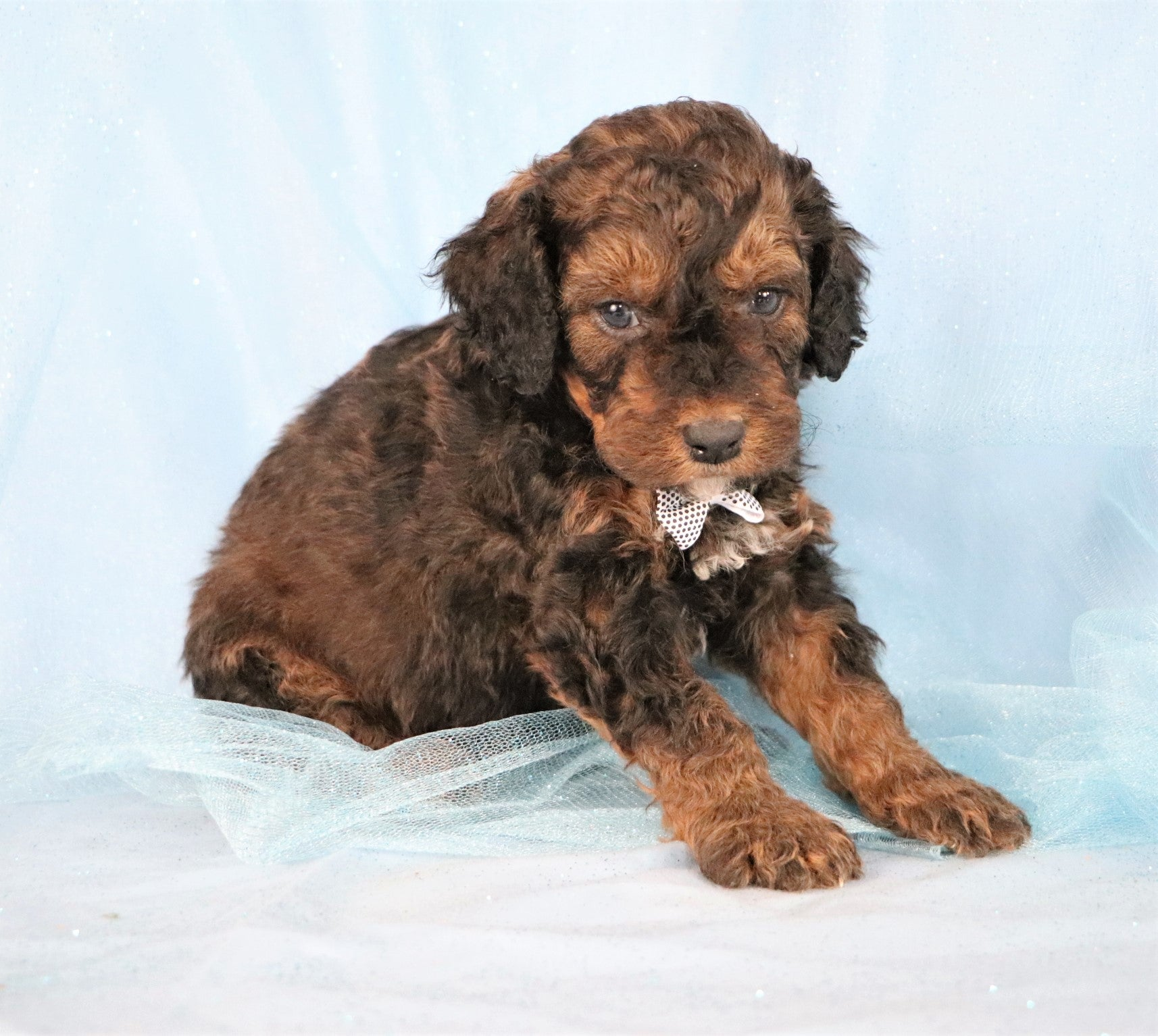 *RESERVED*Ryan Male F1B Mini Bernedoodle Puppy