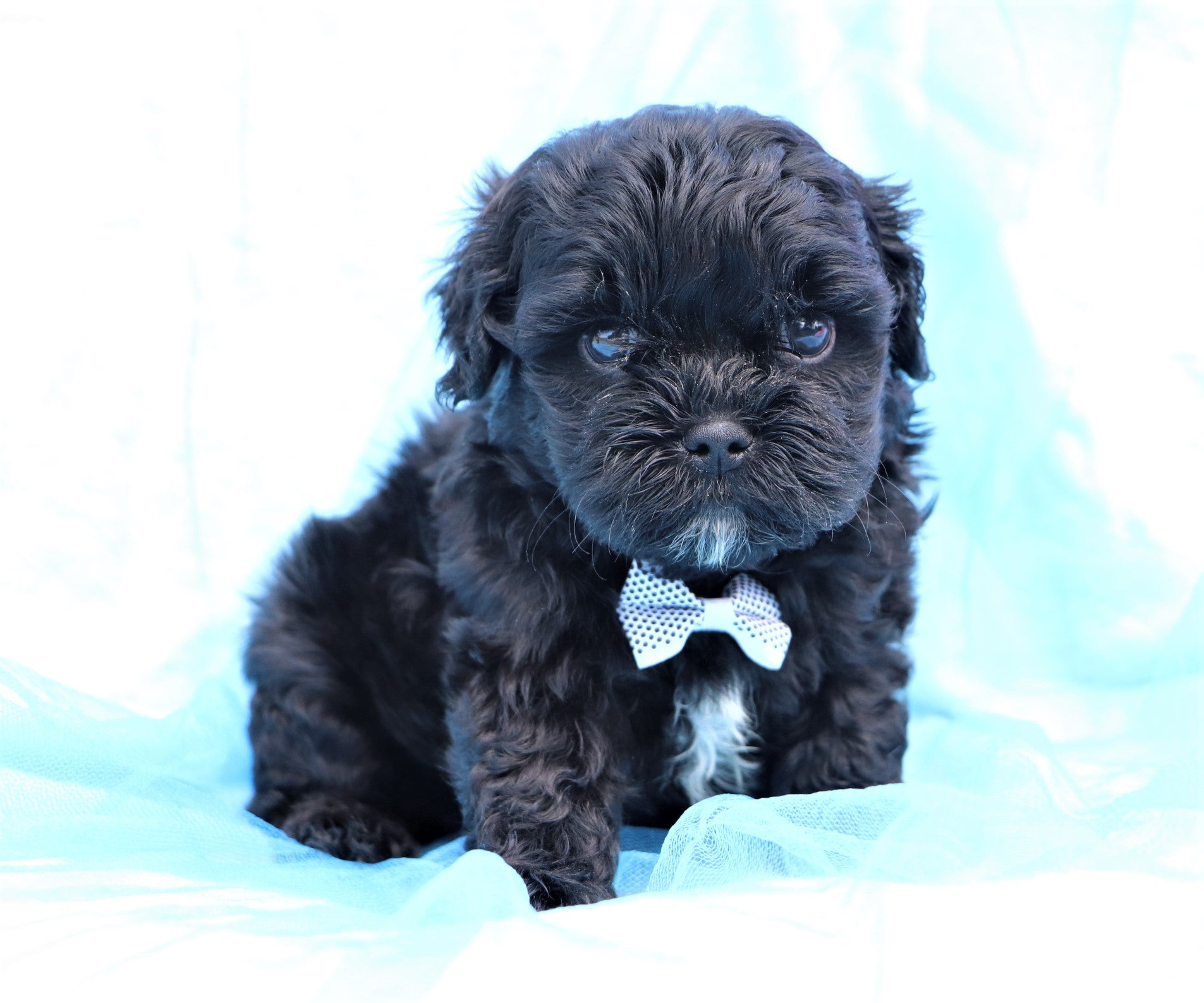 *RESERVED* Steve Male Teacup Shihpoo Puppy*