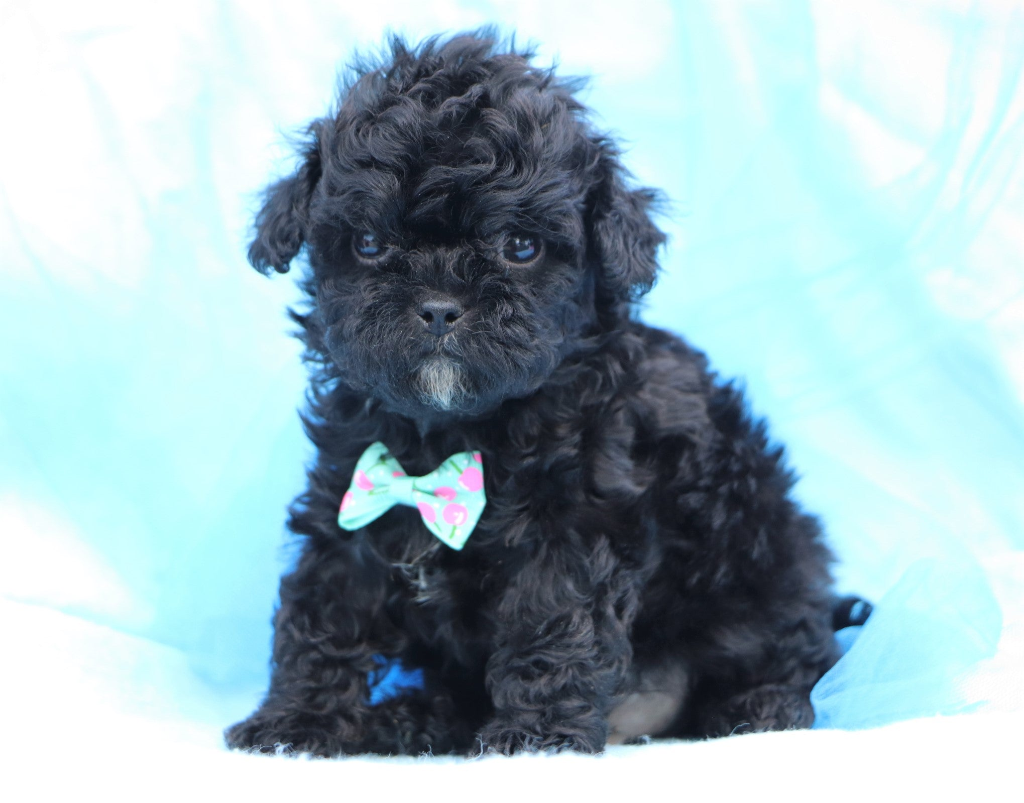 *RESERVED* Roger Male Teacup Shihpoo Puppy