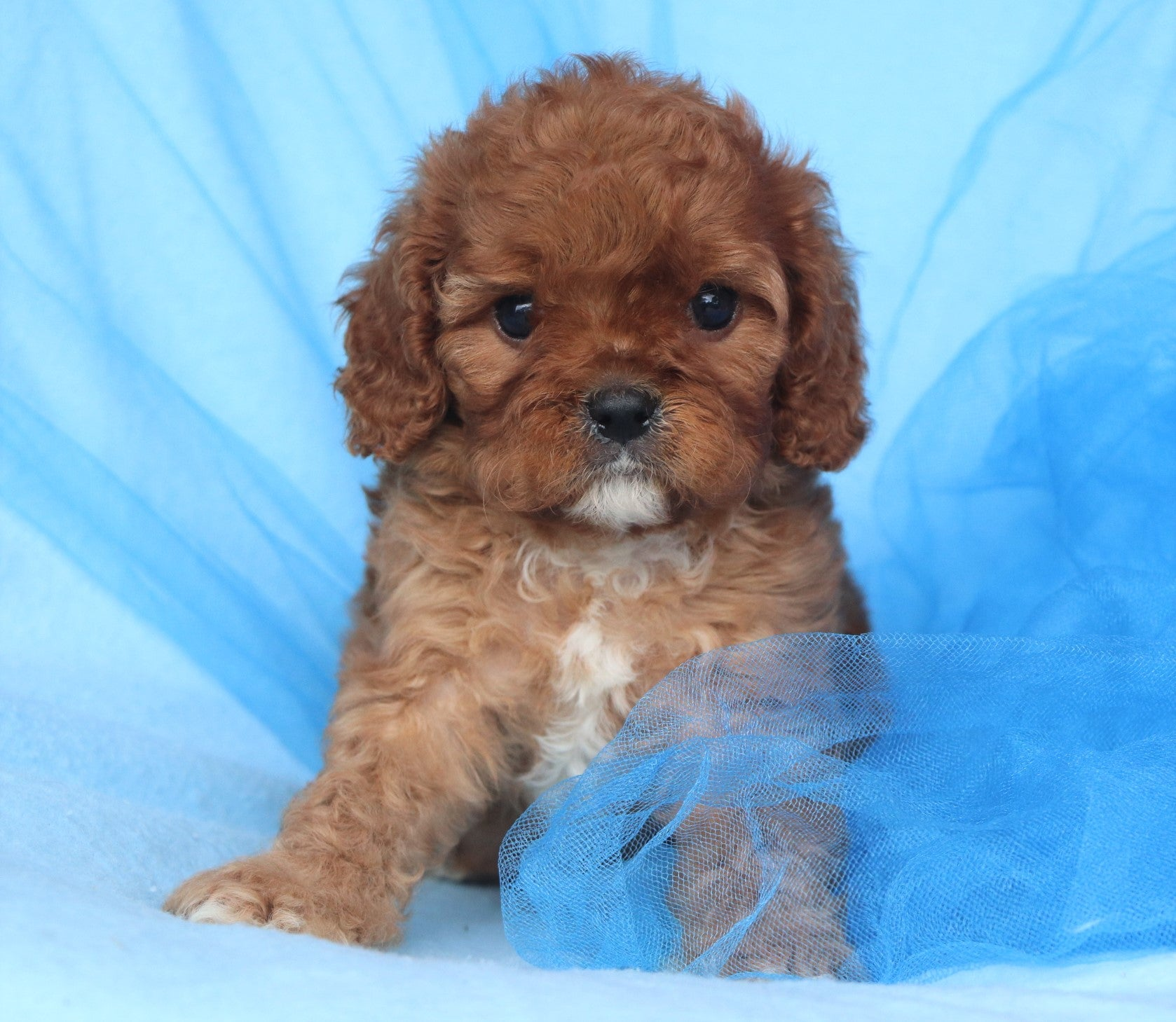 *RESERVED* Basil Male Cavachon Puppy*