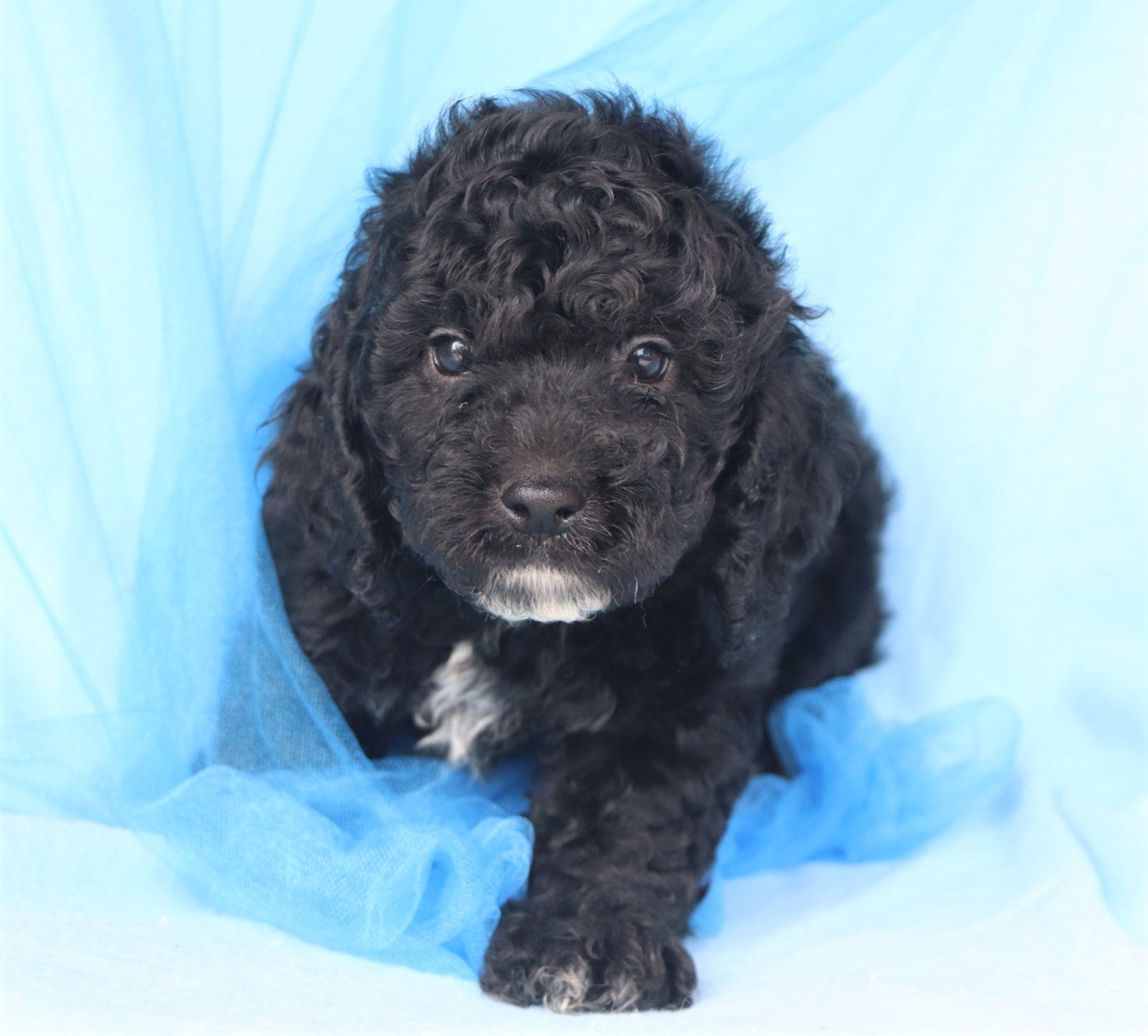 *RESERVED* Ares Male F1B Mini Cockapoo Puppy