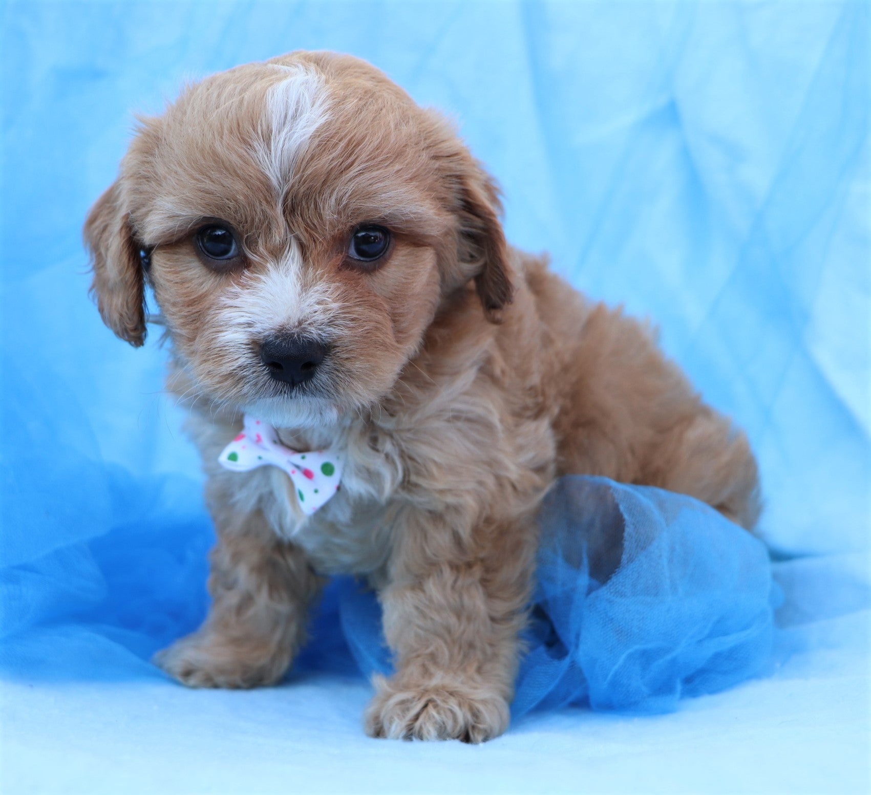 *RESERVED* Bart Male Cavachon Puppy