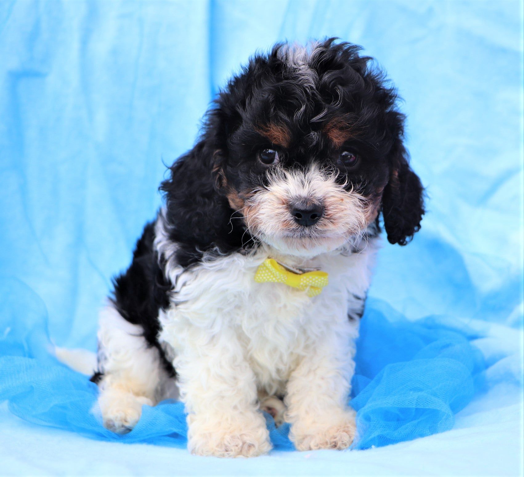 *RESERVED*Ferb Male F2 Cavachon Puppy*