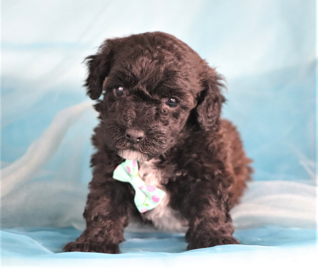 * RESERVED* July Male Teacup Poodle Puppy*