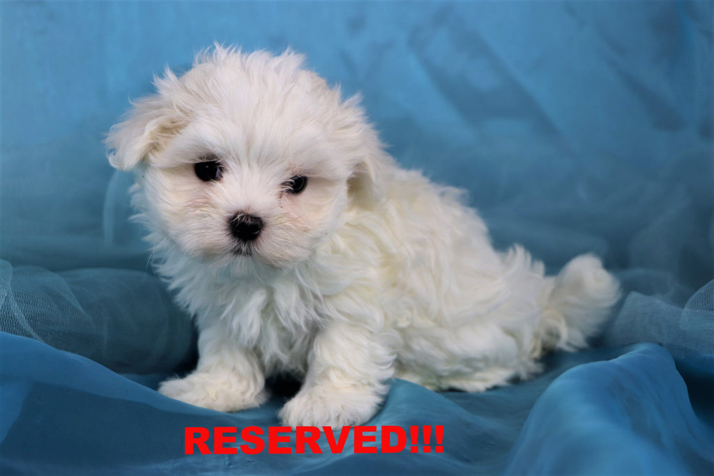 Buddy Male Teacup Maltese Puppy*