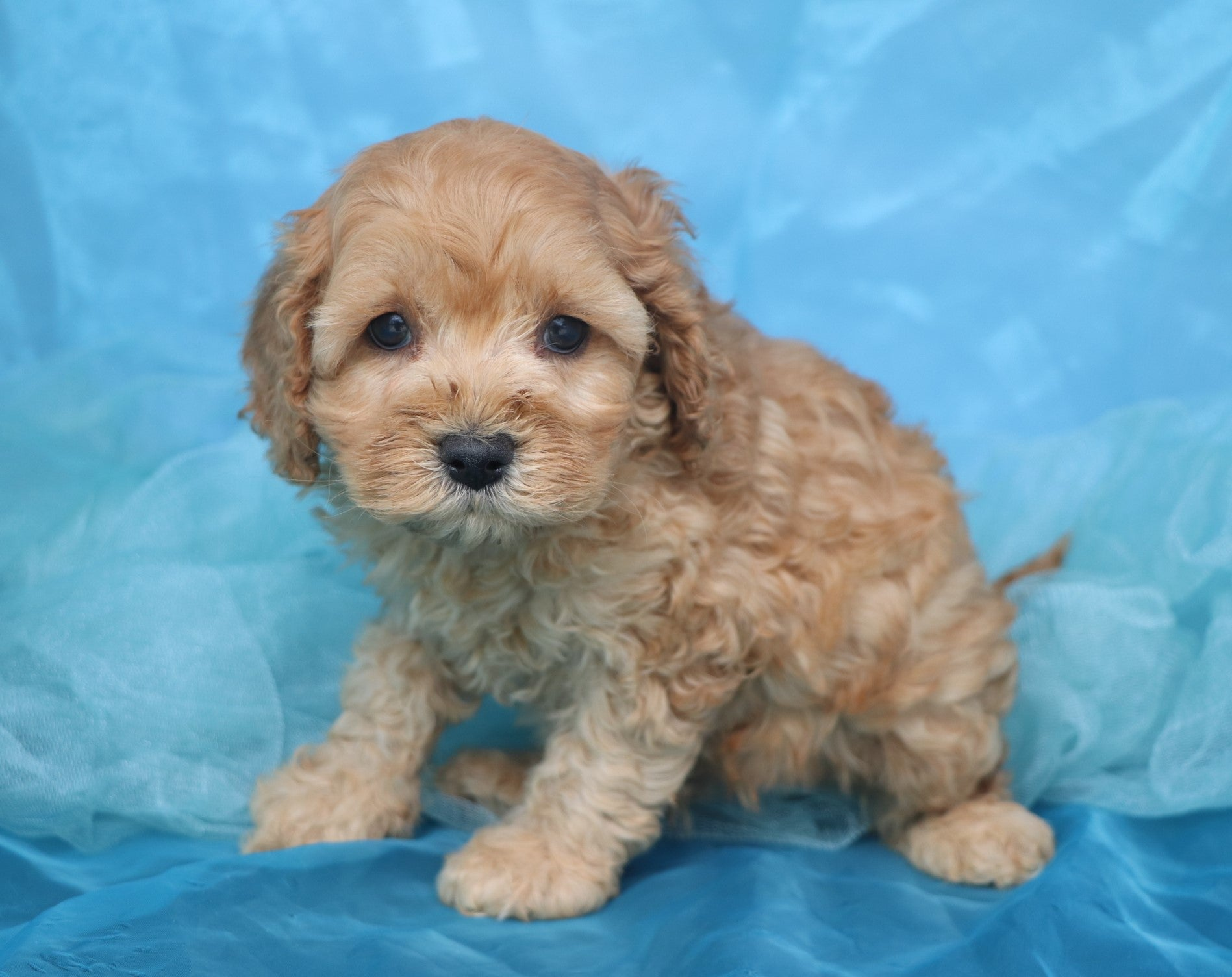*RESERVED* Abbott Male F1B Cavapoo Puppy