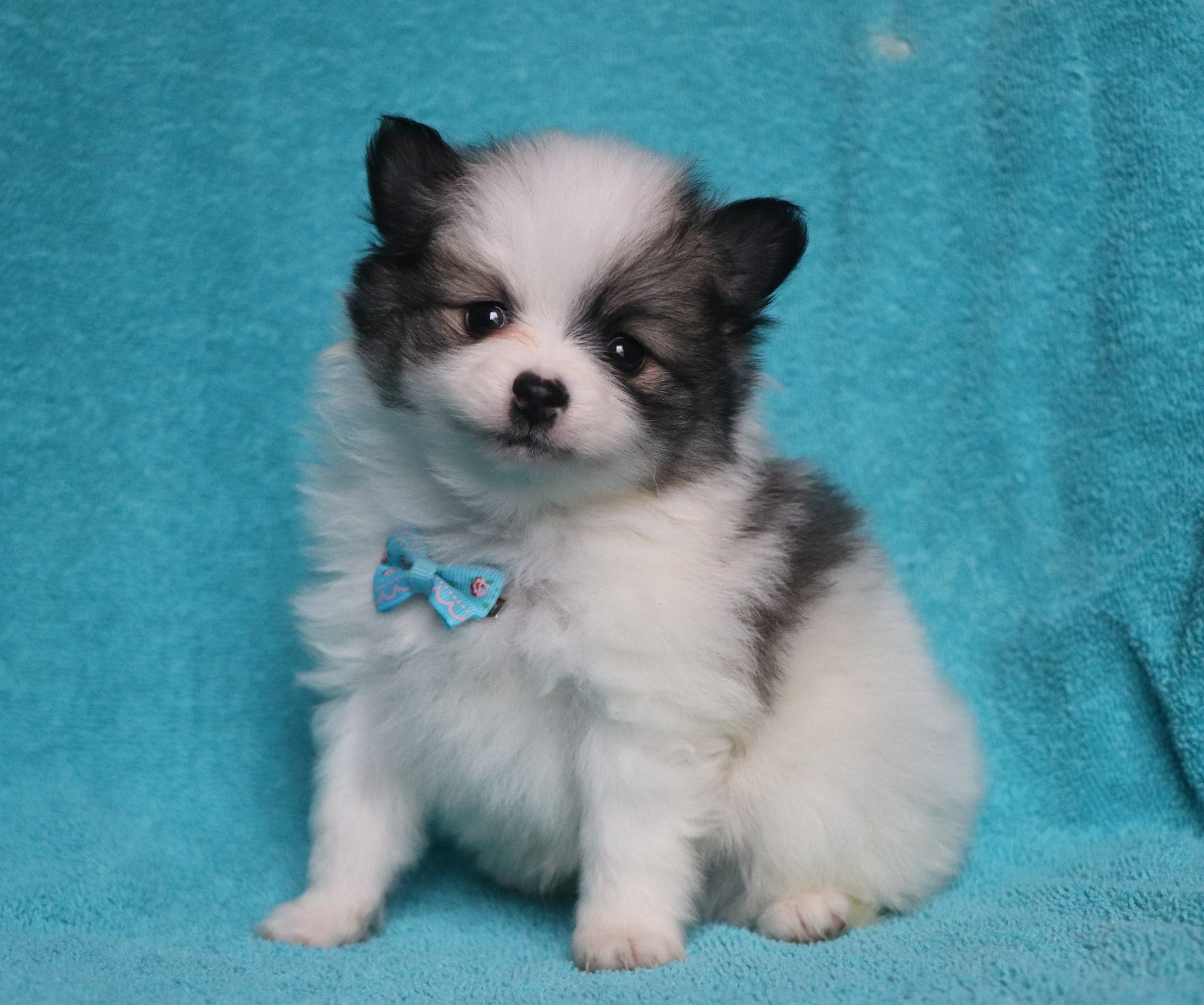 *RESERVED* London Male Teacup Pomeranian Puppy*