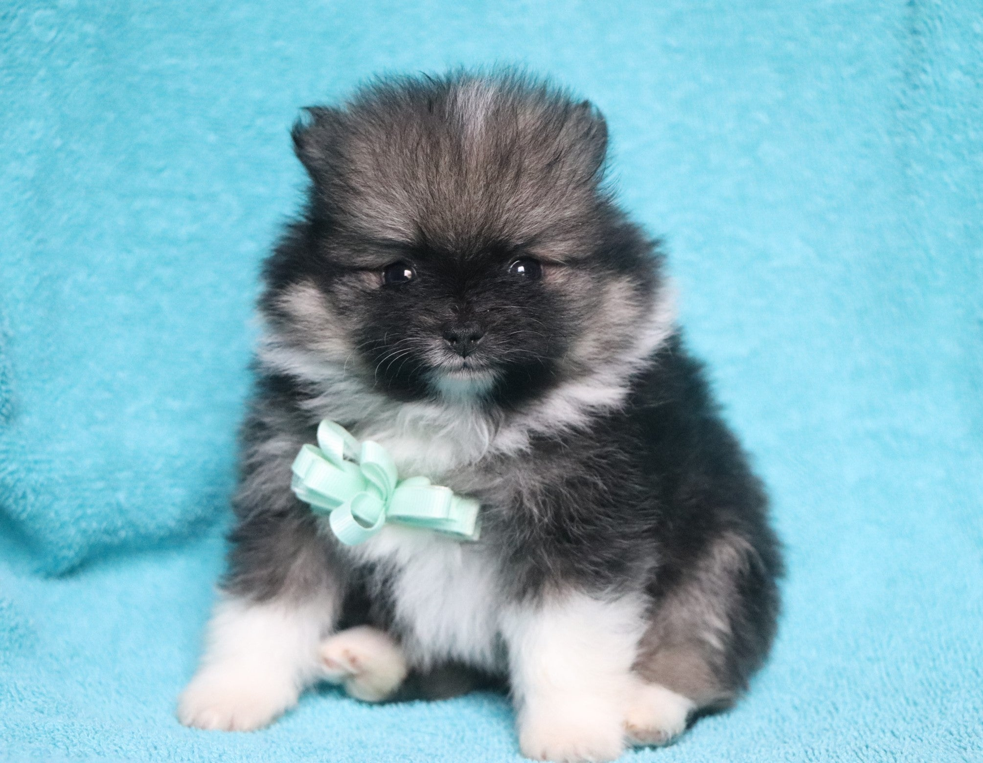 *RESERVED* Barcelona Male Teacup Pomeranian Puppy*