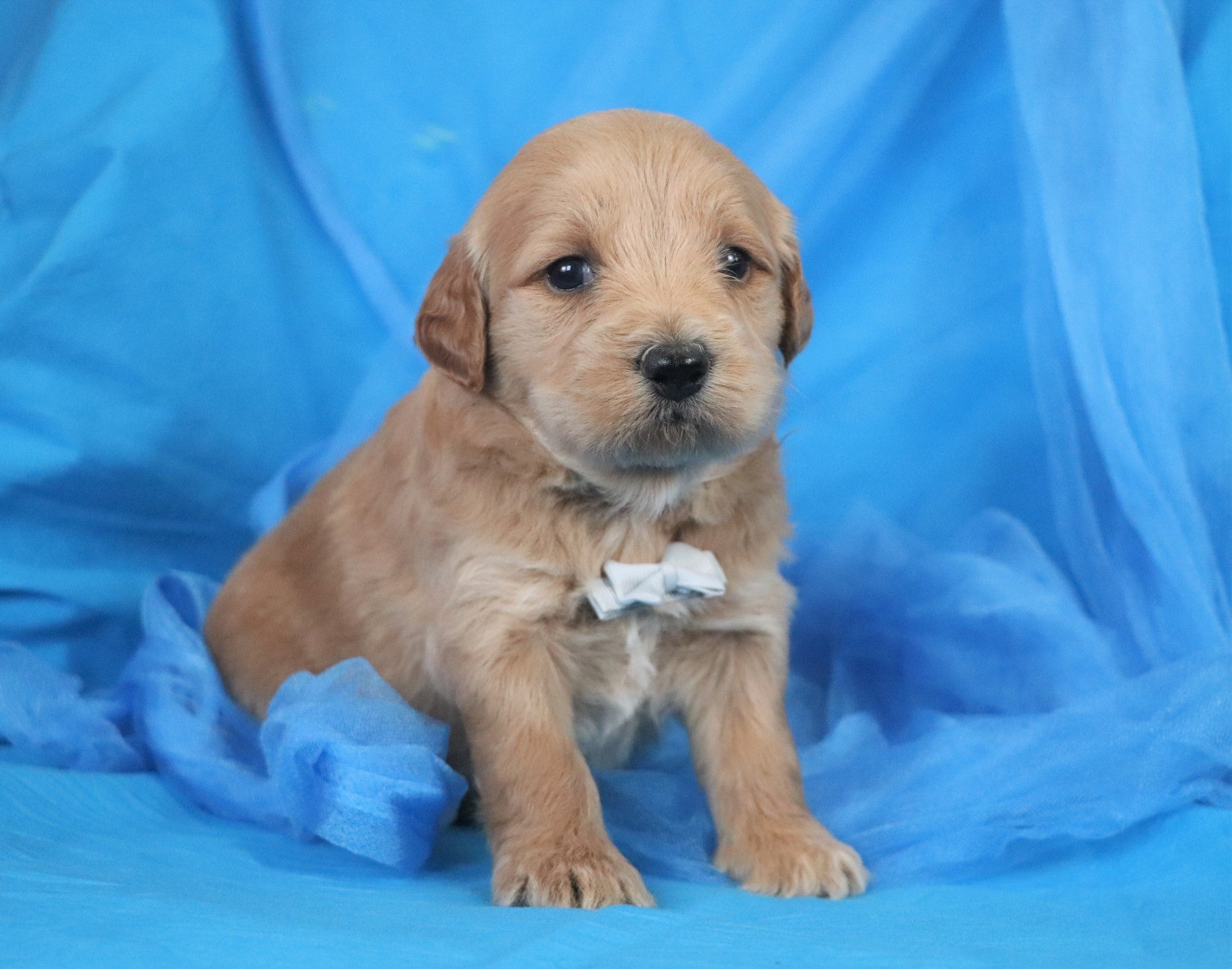 *RESERVED* Johann Male F2 Mini Goldendoodle Puppy