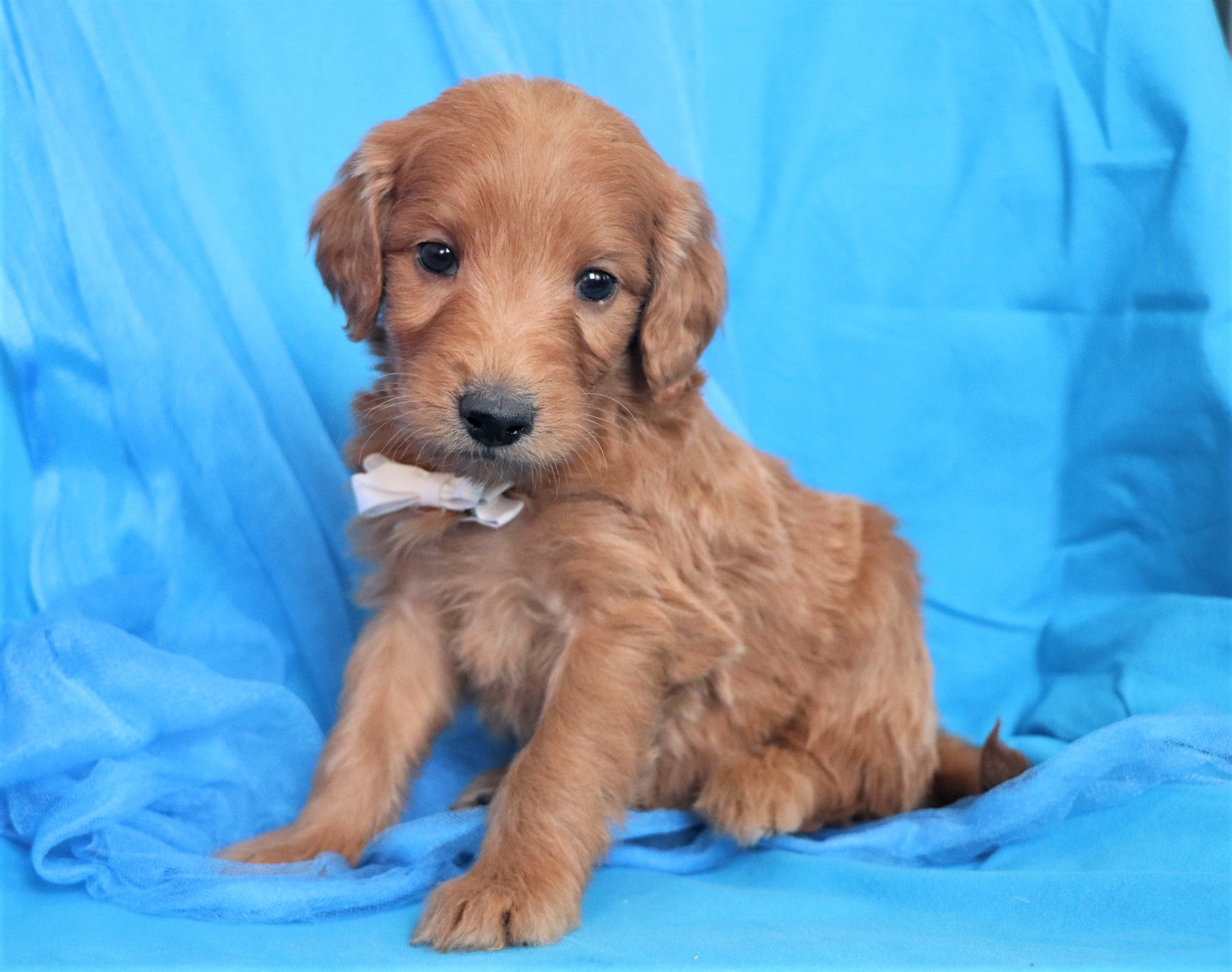 *RESERVED*Molasses Male F1B Mini Goldendoodle Puppy