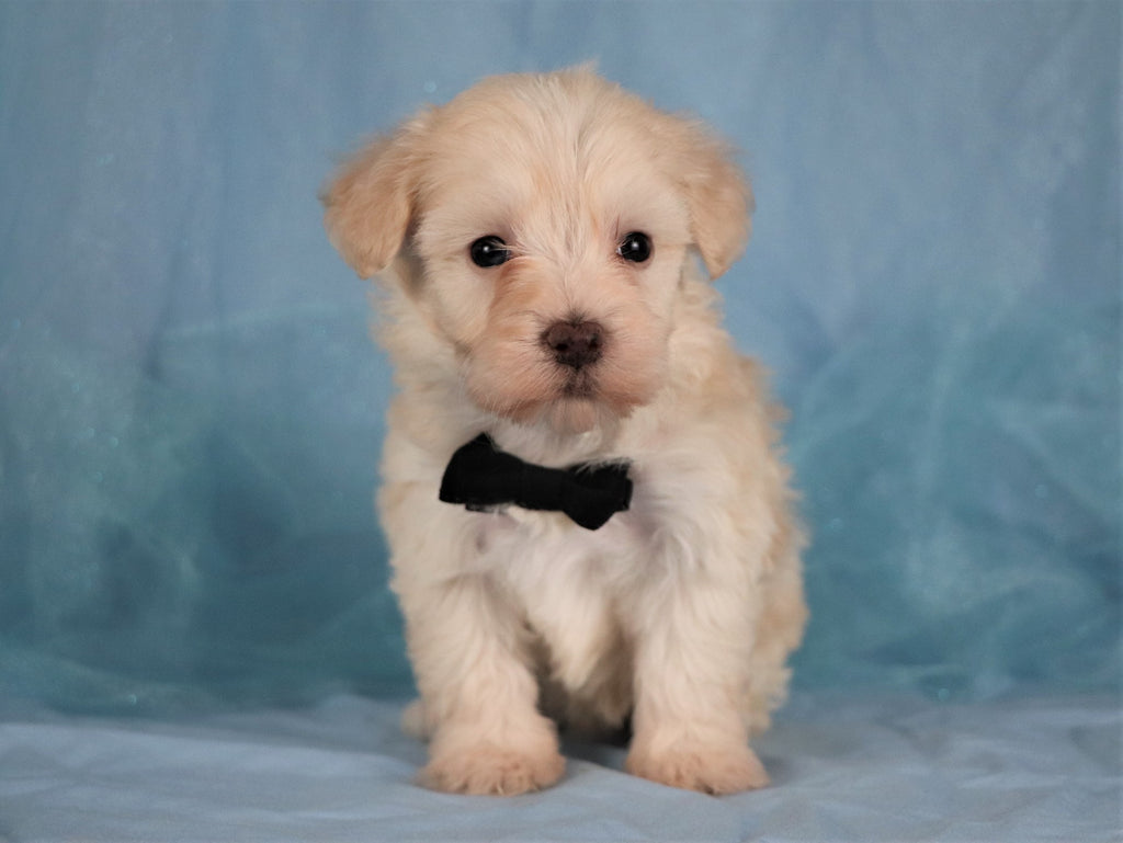 Augi Male Teacup Maltipoo Puppy