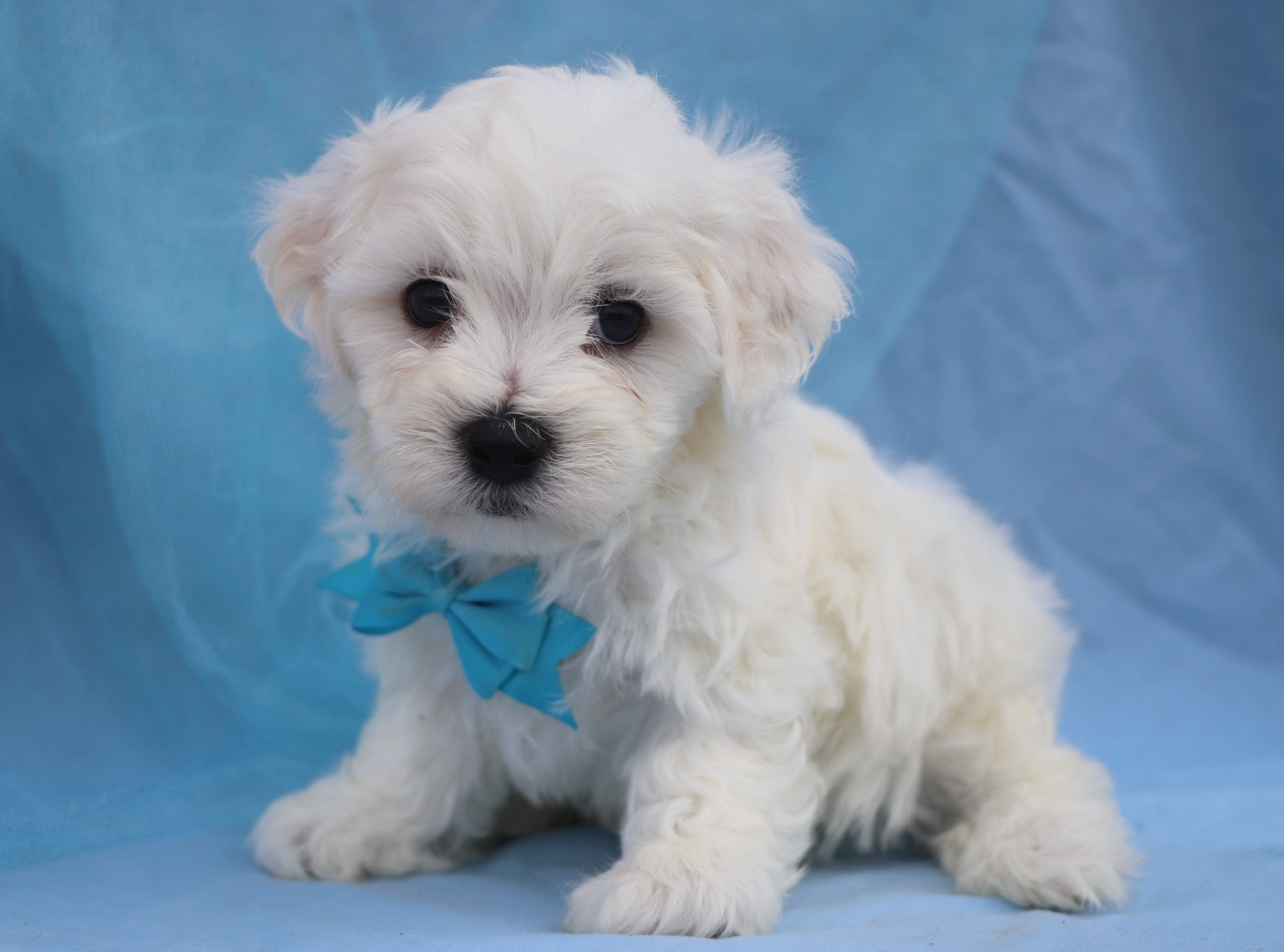 *RESERVED* Buttermilk Male Teacup Maltichon Puppy*