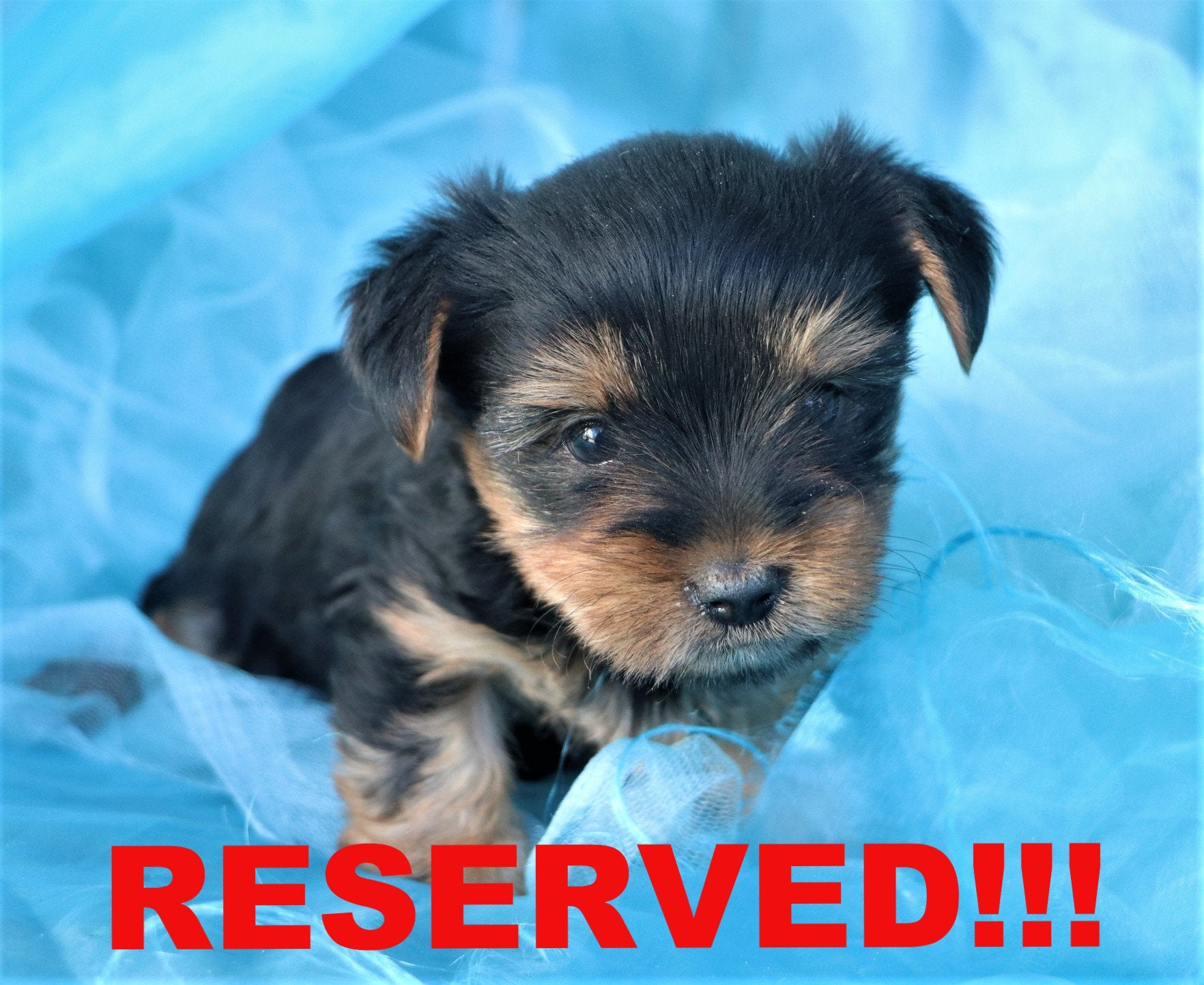 Wallynut Male Micro Teacup Yorkie Puppy Happytail Puppies