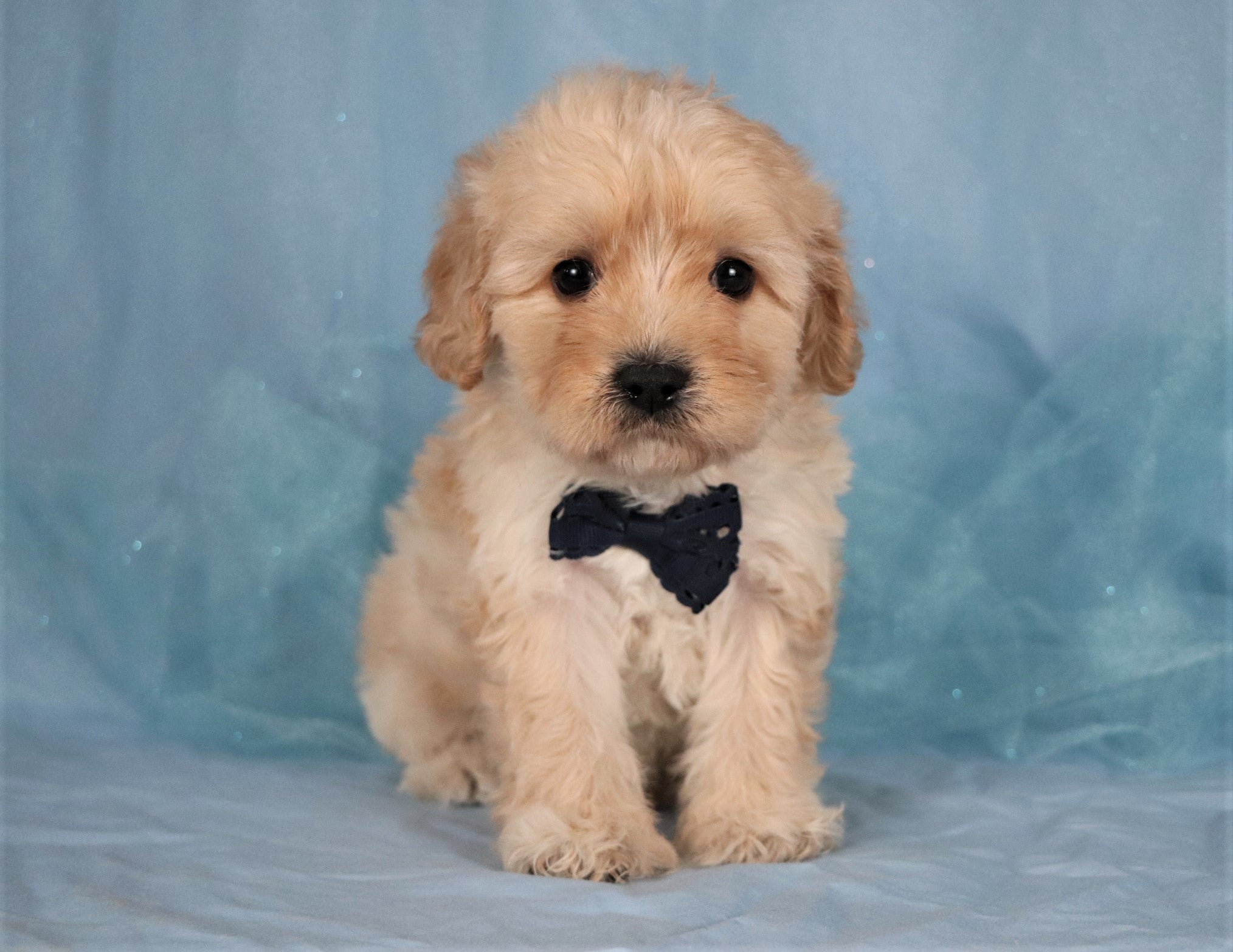 *RESERVED* Teller Male Cavapoo Puppy