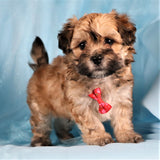 *RESERVED* Coach Male Teacup Daisy Dog Puppy