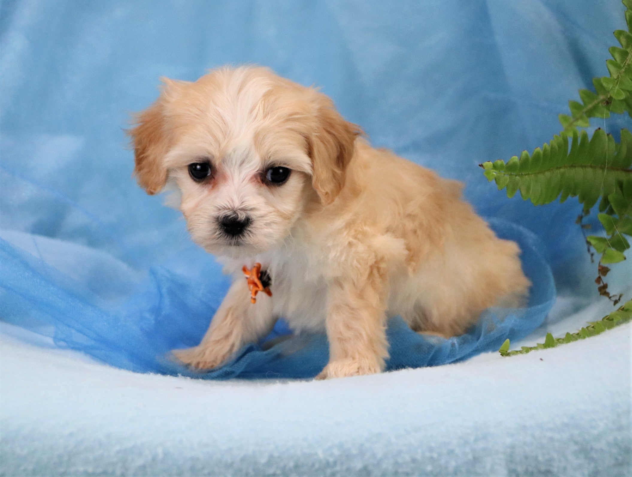 *RESERVED* Jack Male Teacup Maltipoo Puppy
