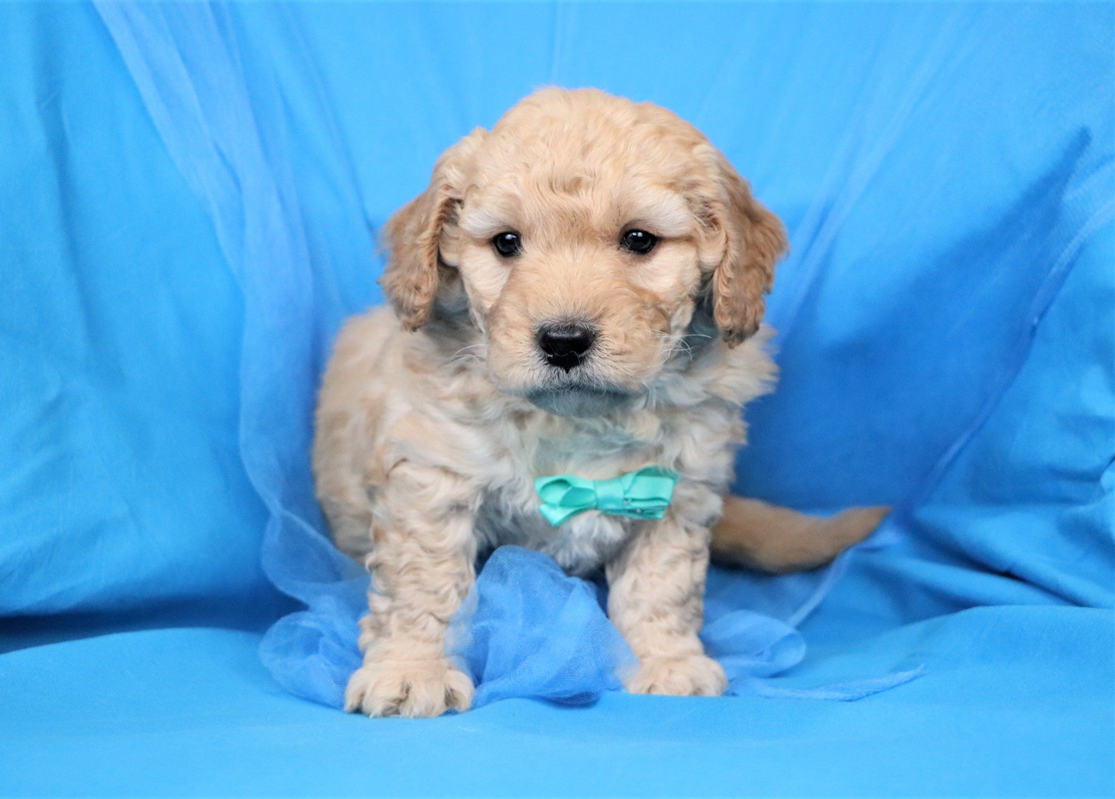 *RESERVED* Gregor Male F1B Mini Goldendoodle Puppy