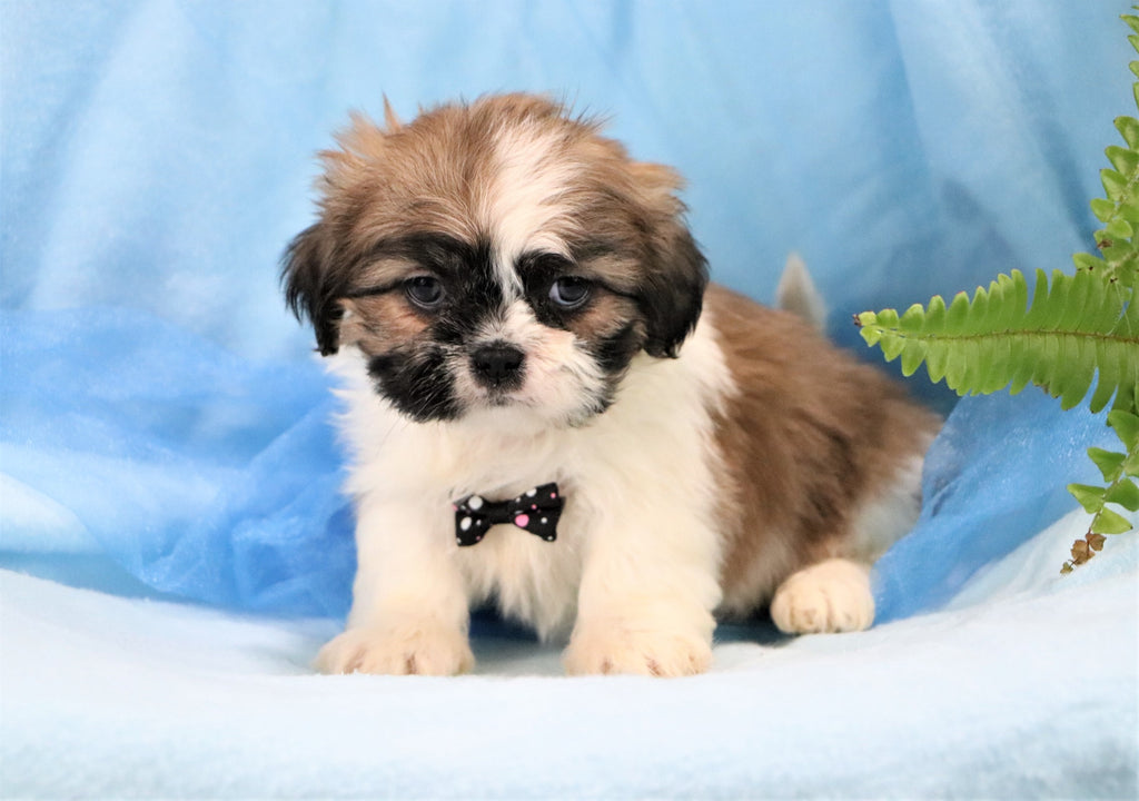 Corey Male Shih Tzu Puppy*