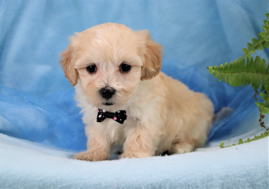 Joey Male Teacup Maltipoo Puppy*