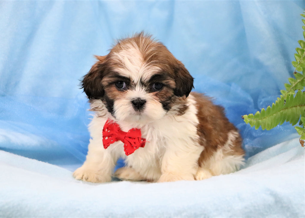 Charley Male Shih Tzu Puppy*