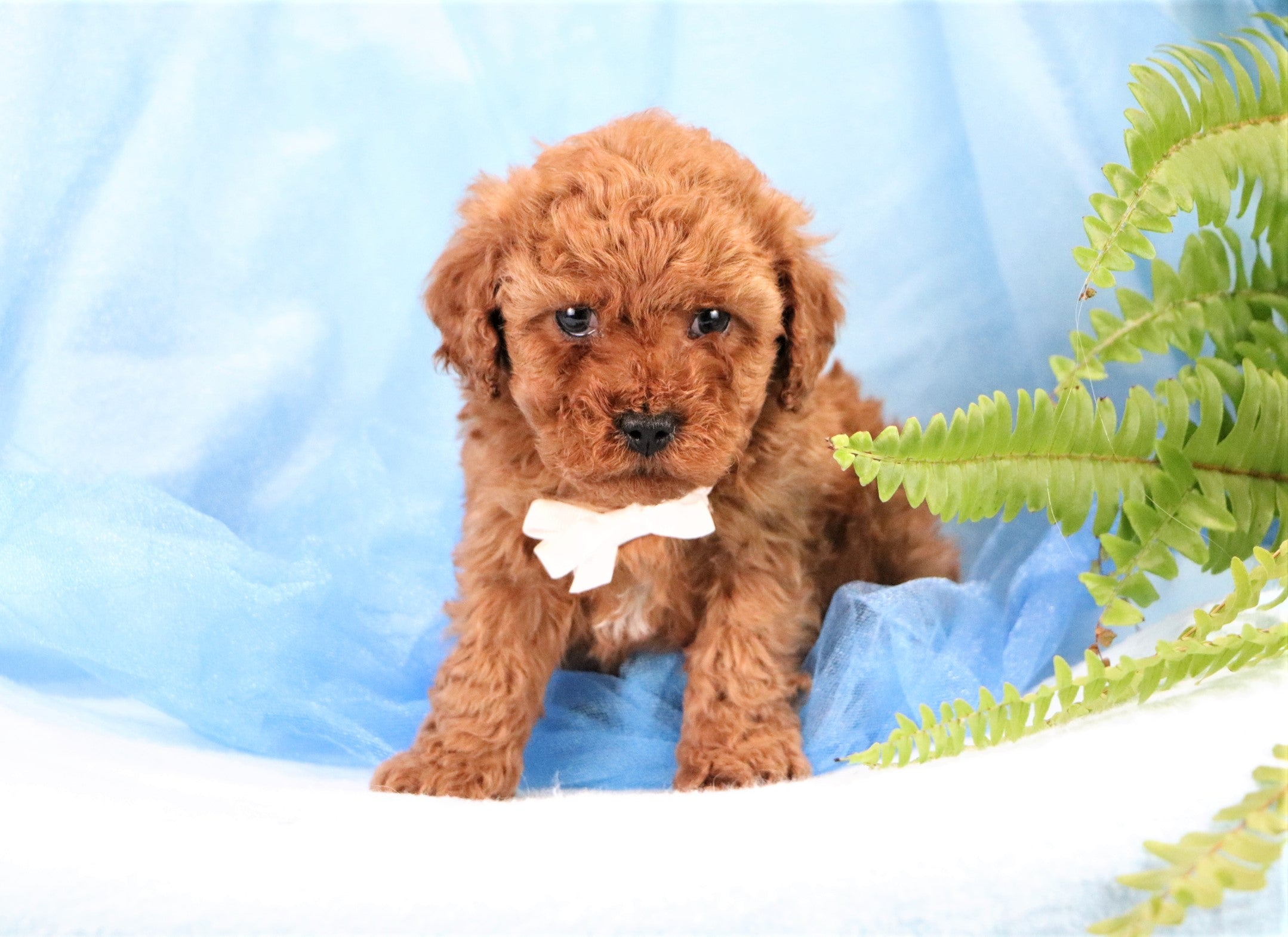 *RESERVED*Wendall Male F1B Cavapoo Puppy