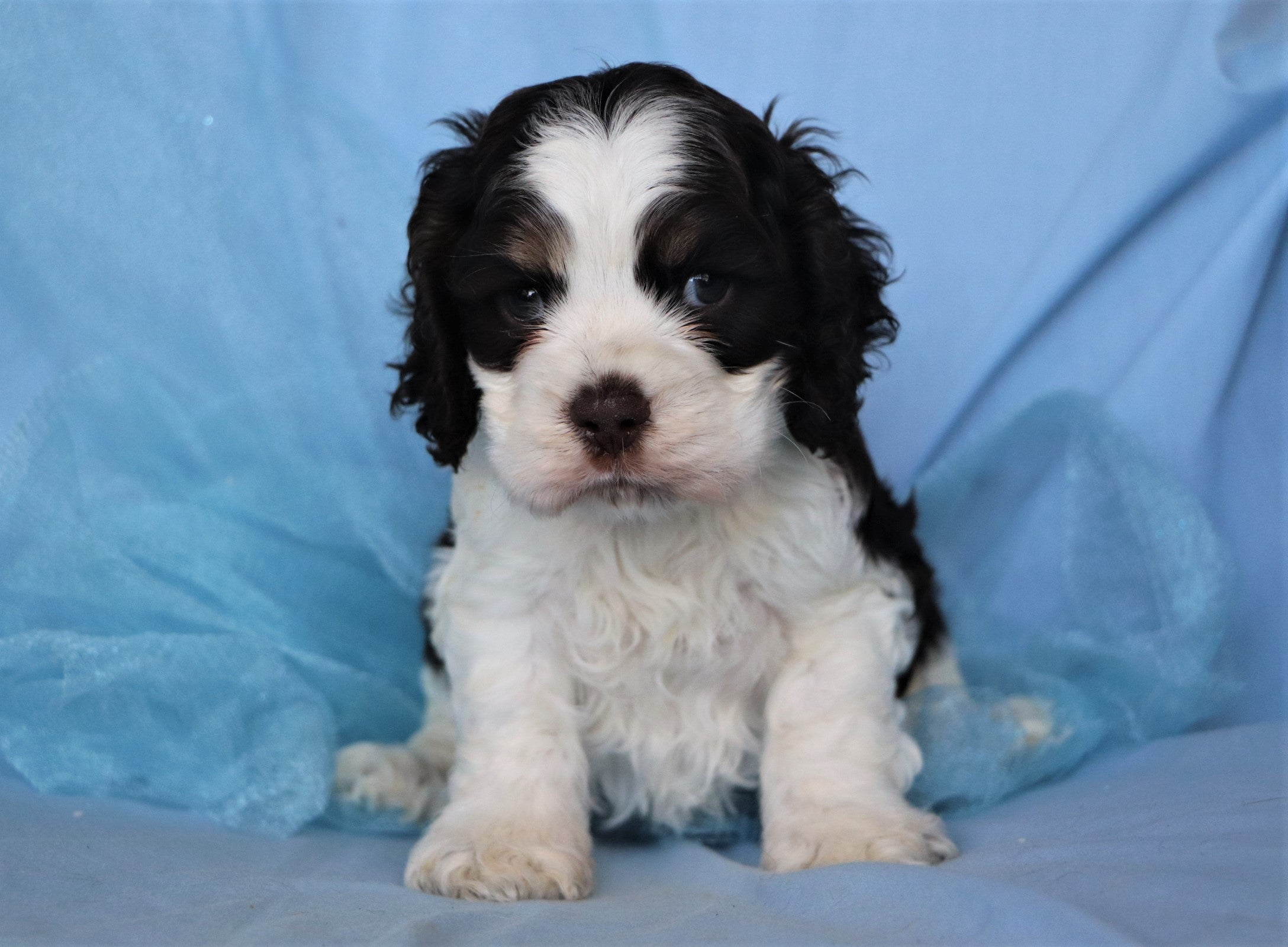 *RESERVED* Newman Male Mini Cocker Spaniel Puppy