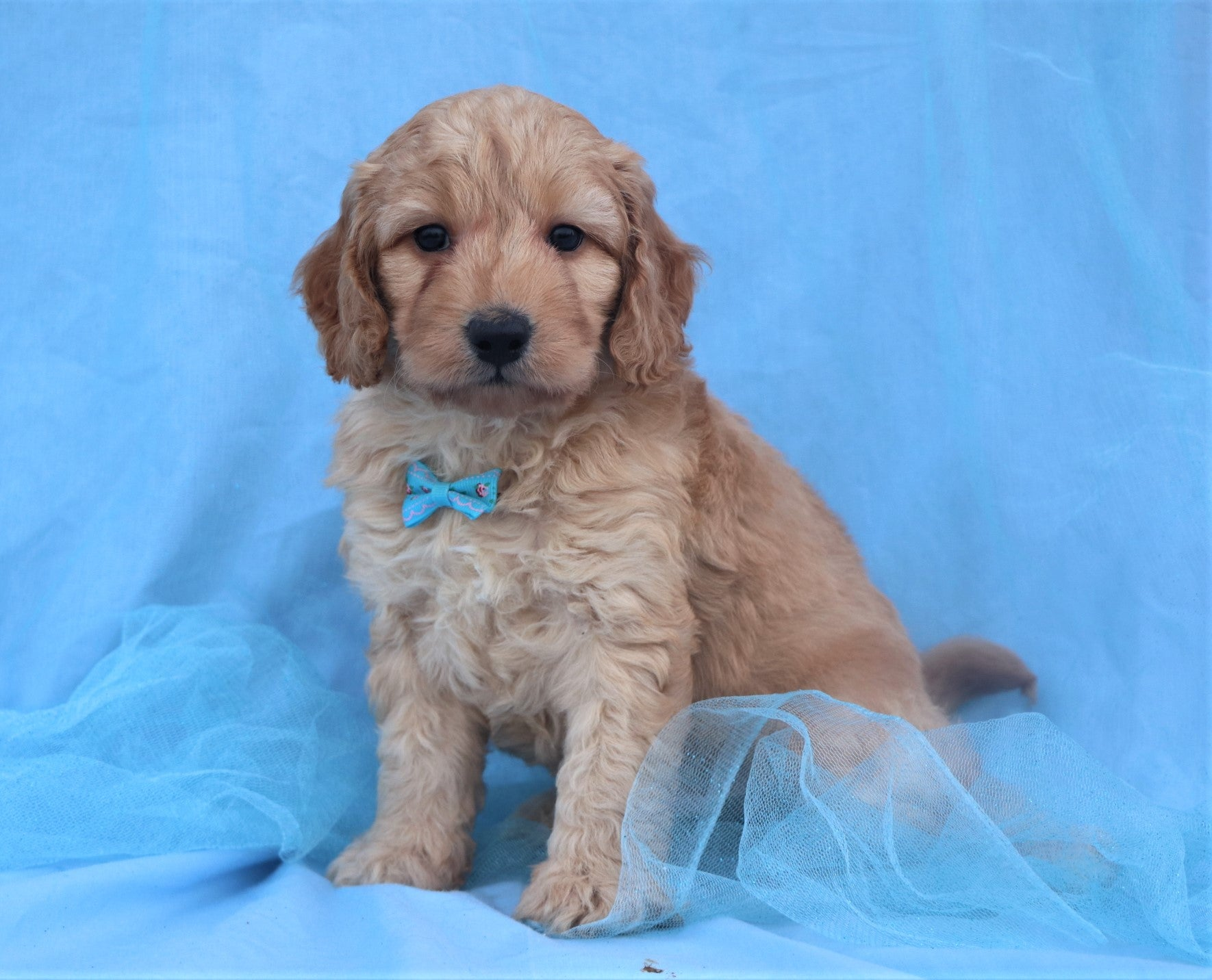 *RESERVED* Louis Male F1B Labradoodle Puppy*
