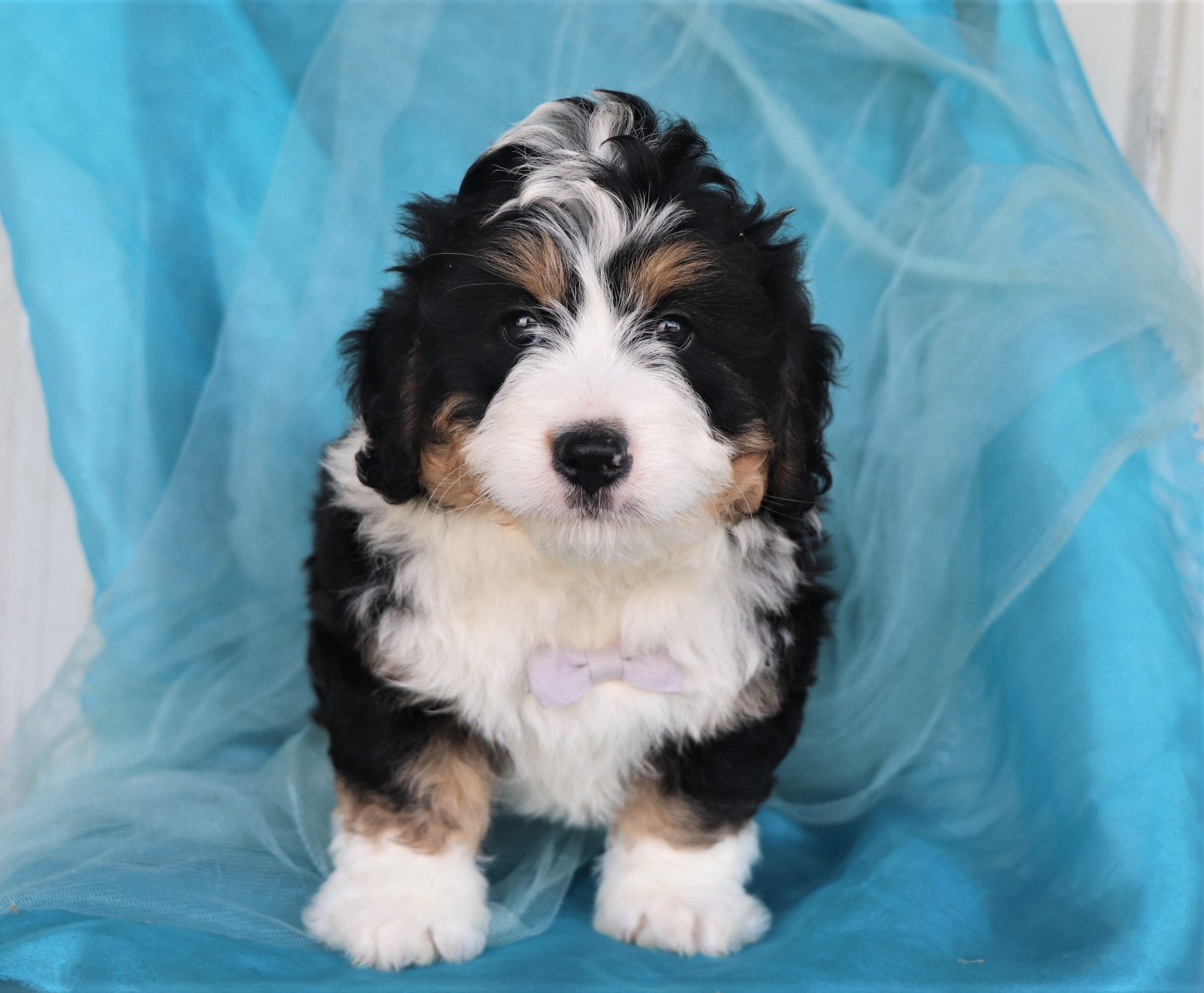 *RESERVED* Nacho Male Mini Bernedoodle Puppy