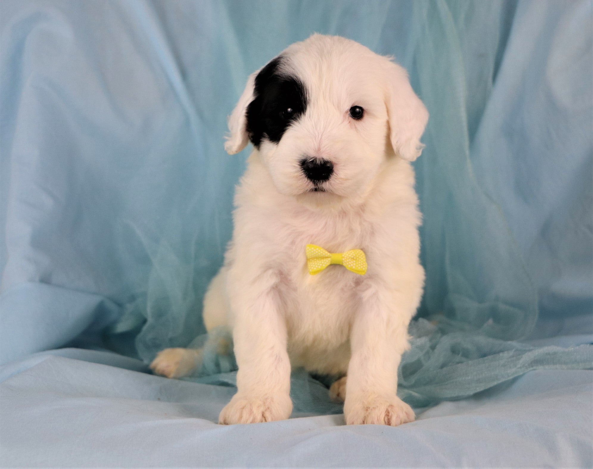 *RESERVED* Dino Male Standard Sheepadoodle Puppy