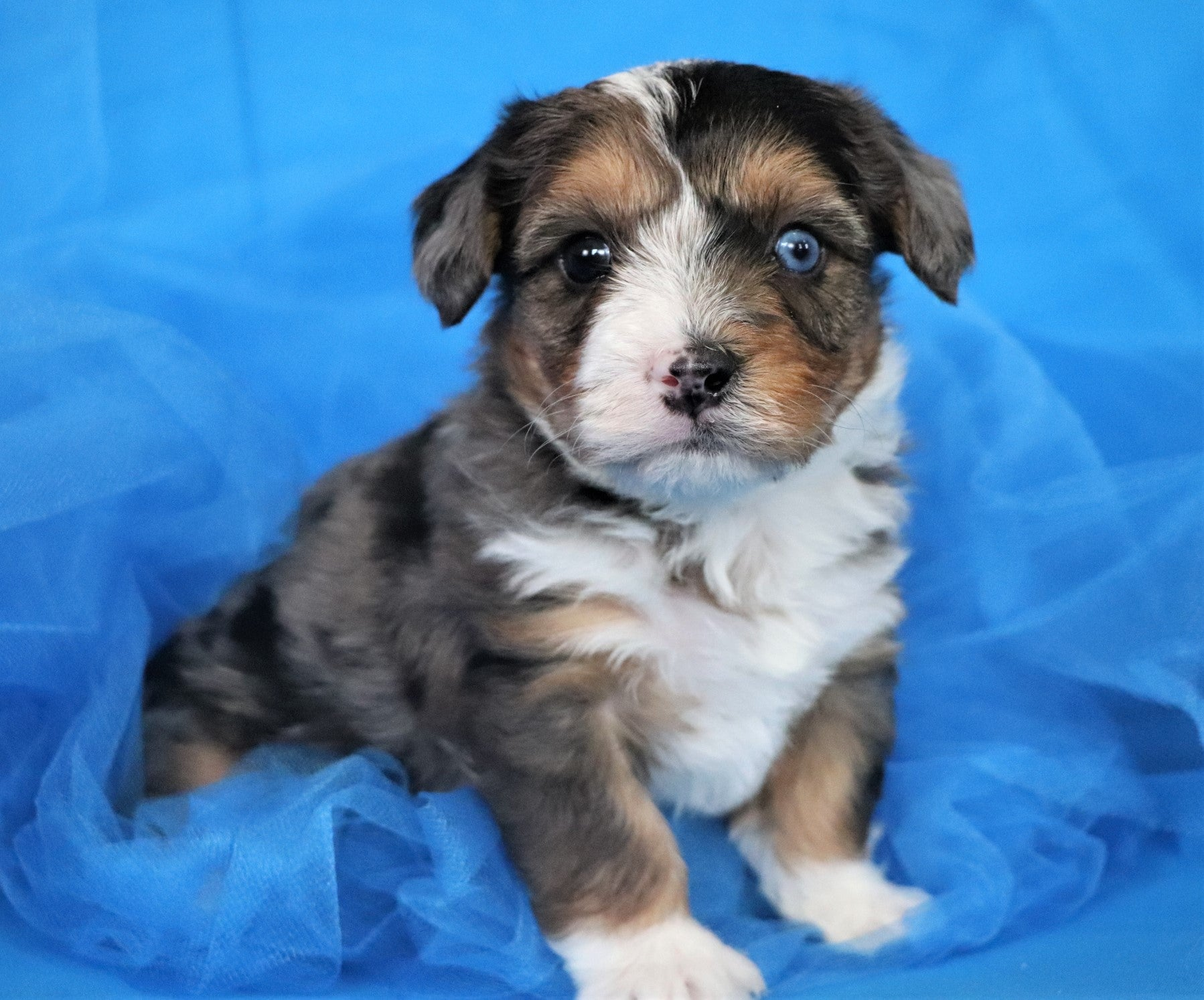 *RESERVED* Poseidon Male Teacup Yorkipoochon Puppy